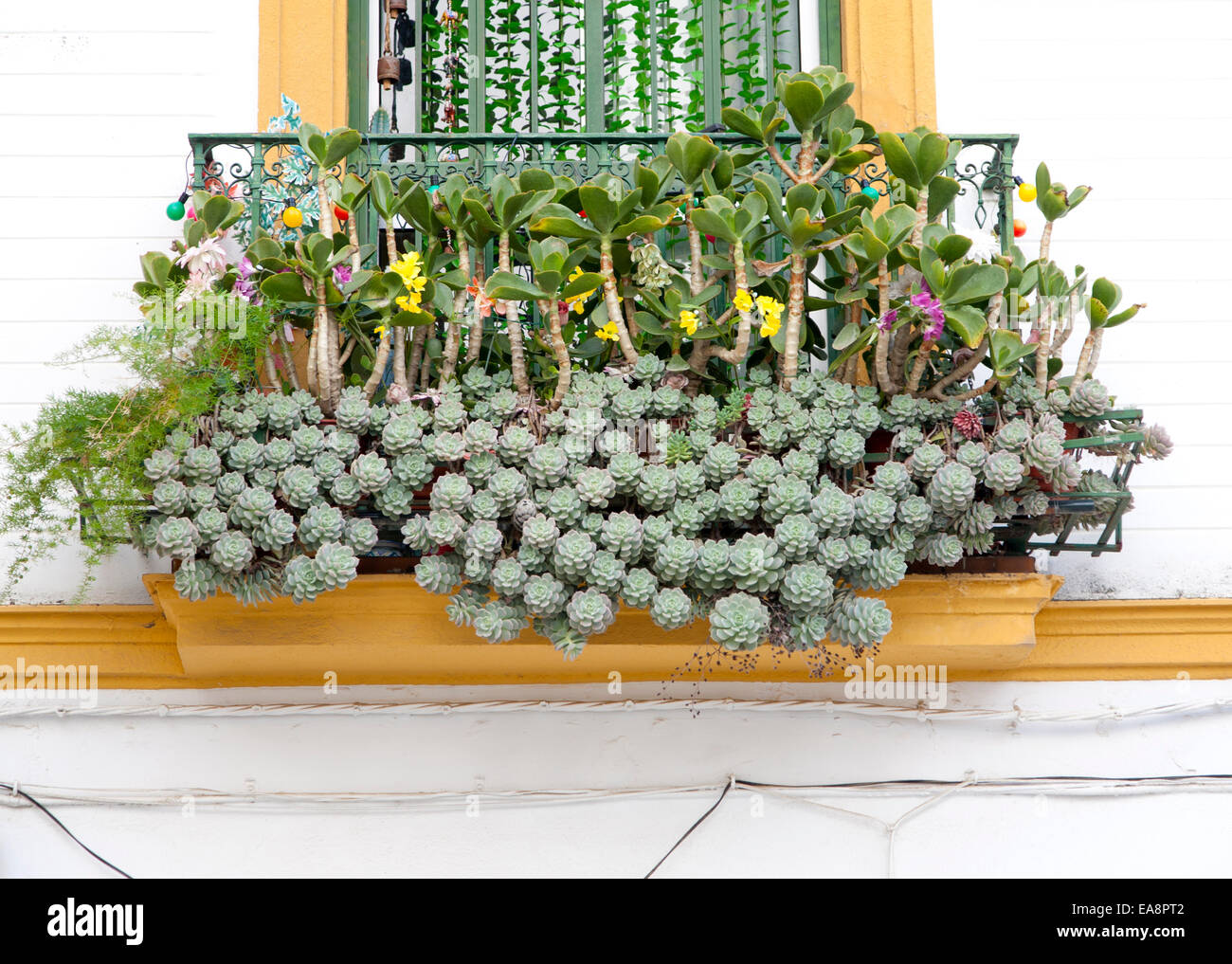Unusual window box display of cacti in Barrio Macarena, Seville, Spain - Stock Image