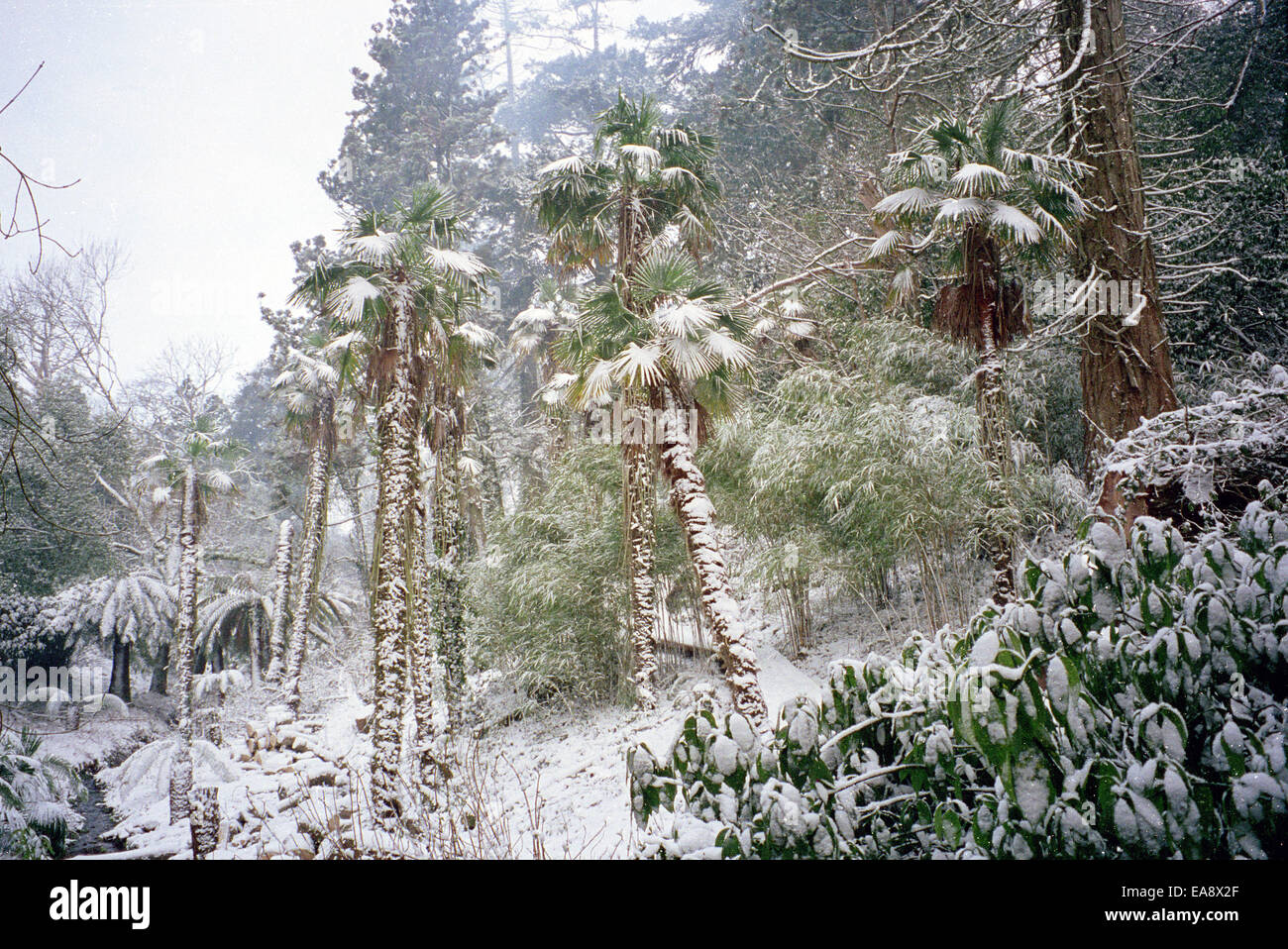 Snow fall on palm trees and ferns in wooded valley south east Cornwall - Stock Image