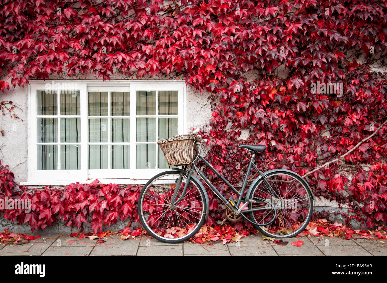 bicycle leaning against an ivy covered building in Oxford England in autumn - Stock Image