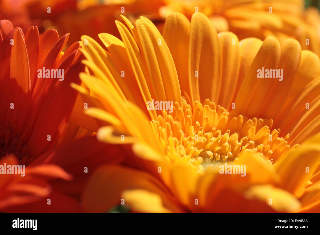 Close up of several orange gerbera flowers - Stock Image