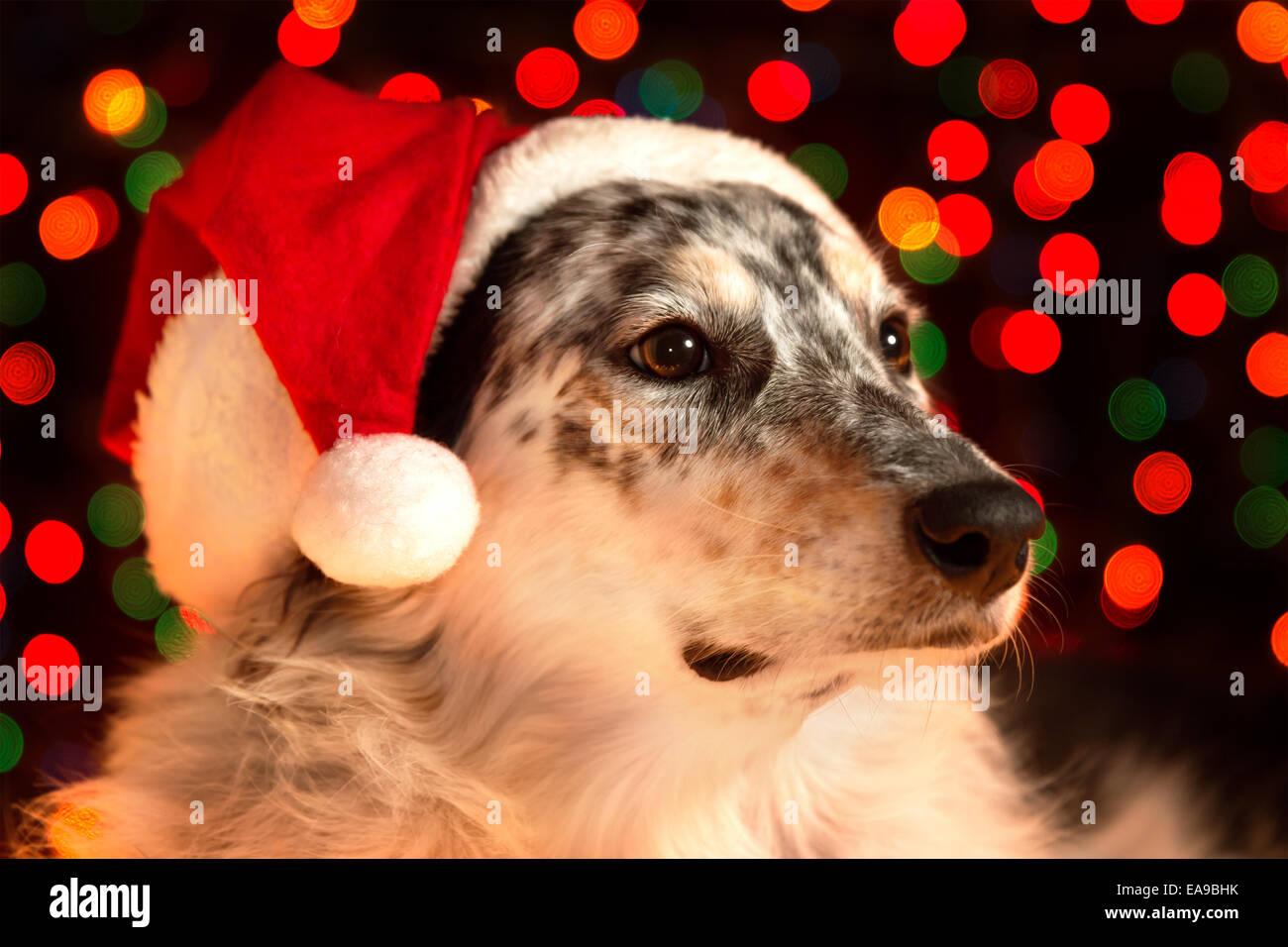Border collie Australian shepherd mix dog closeup wearing santa hat with bokeh Christmas lights in background looking - Stock Image