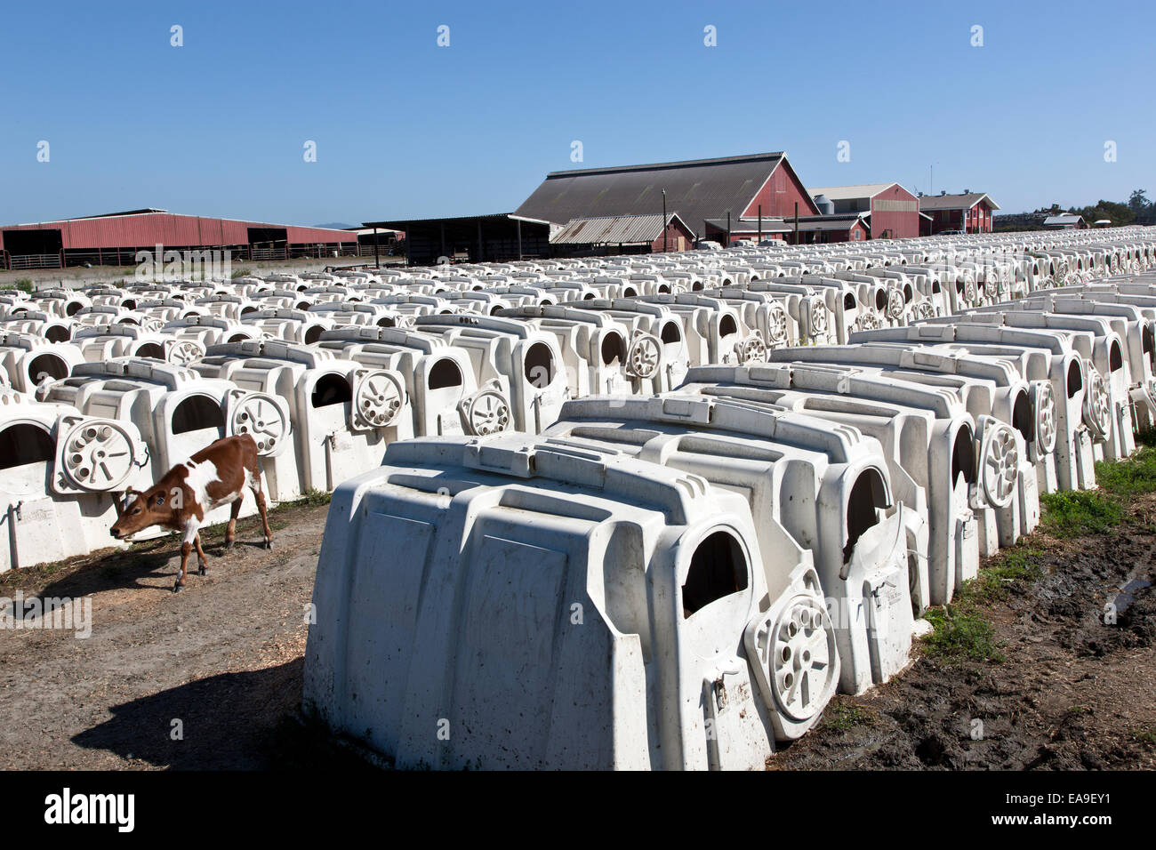 Rows of calf hutches, eco dairy. - Stock Image