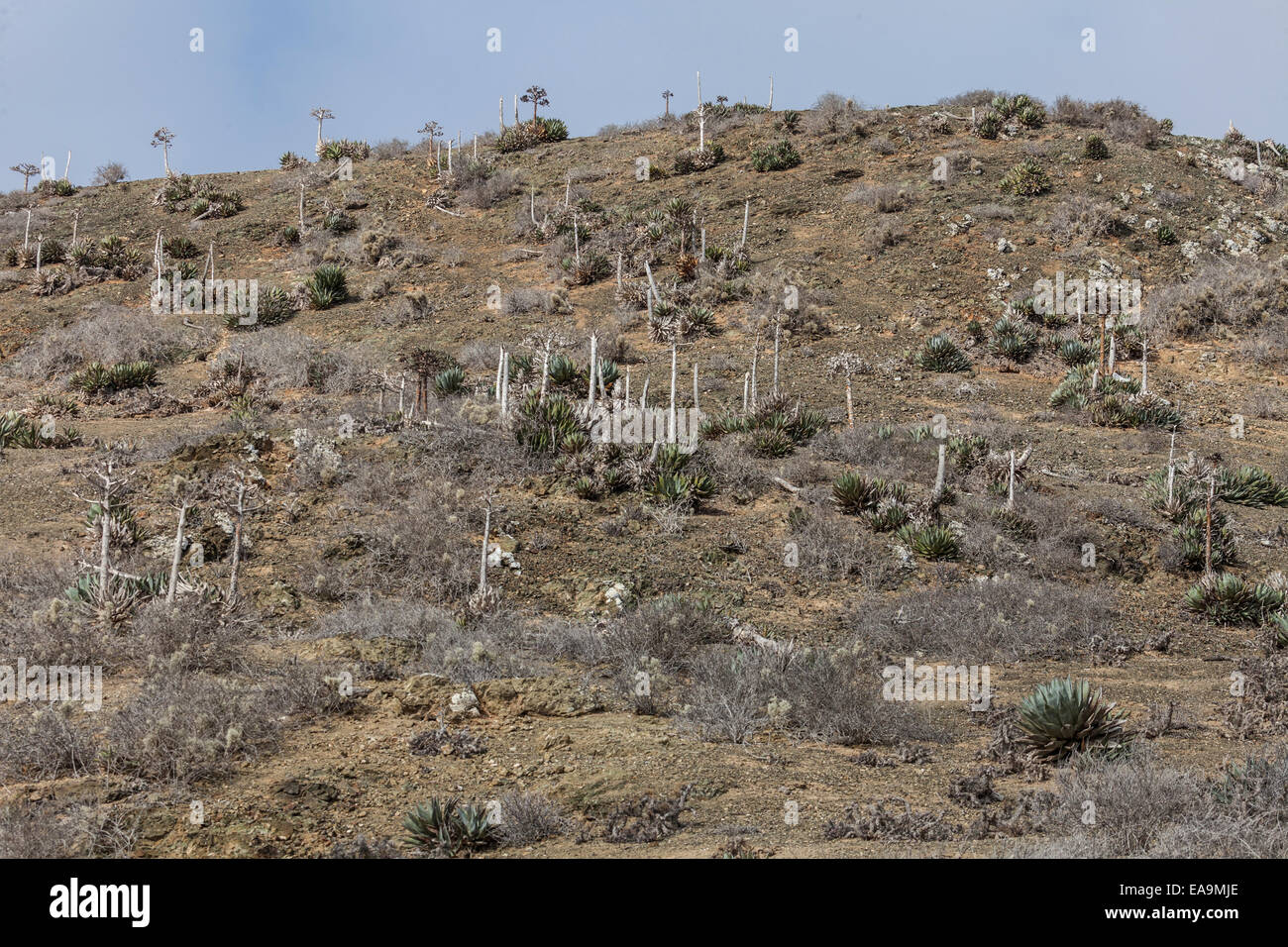 Dry hillside with cactus,  Mexican desert island Isla San Benitos Oeste, in off the west coast of Baja California - Stock Image