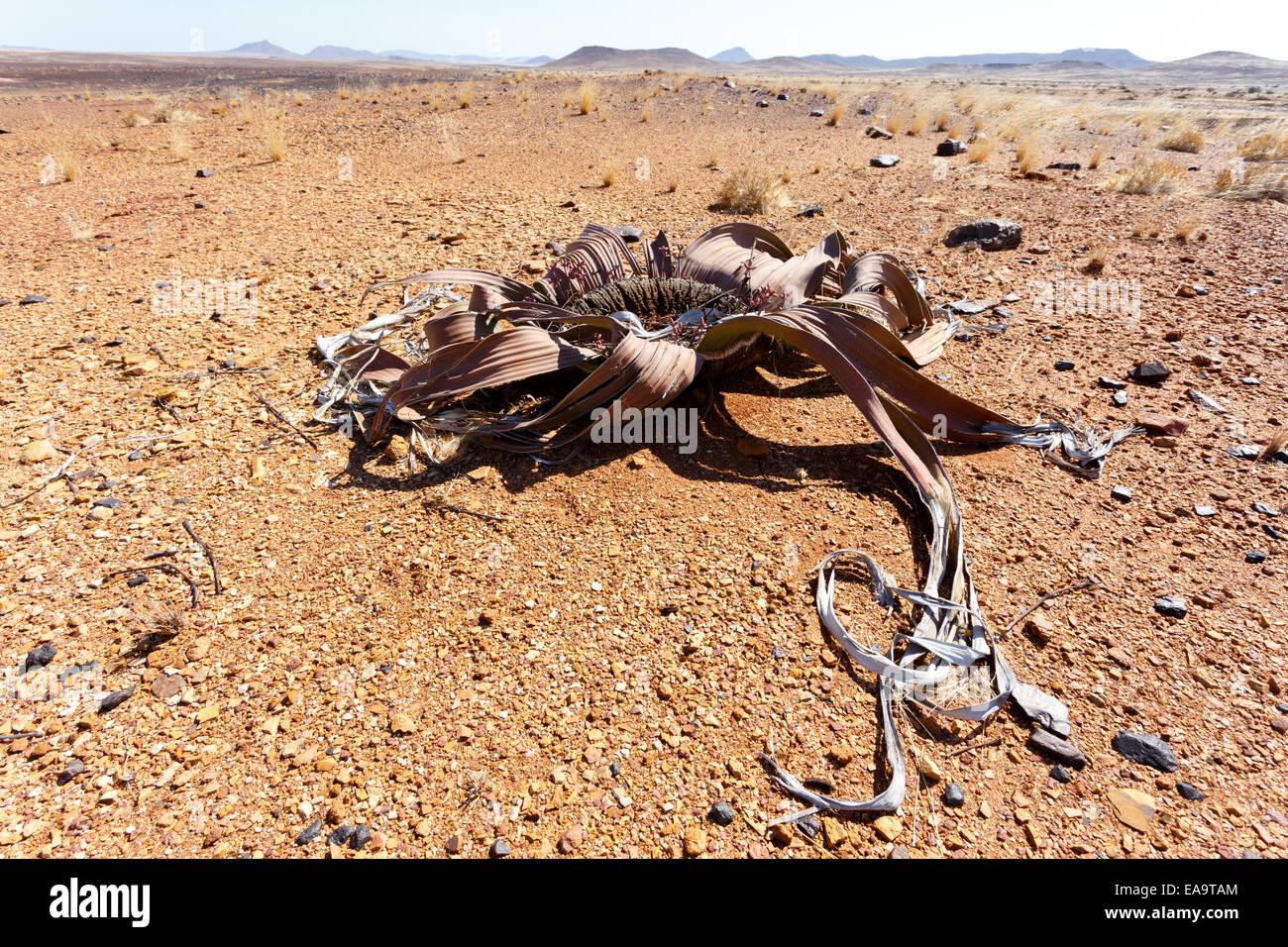 Splendid example of Welwitschia mirabilis is estimated to be more than 1500 years old,Erongo, Namibia, Amazing desert Stock Photo