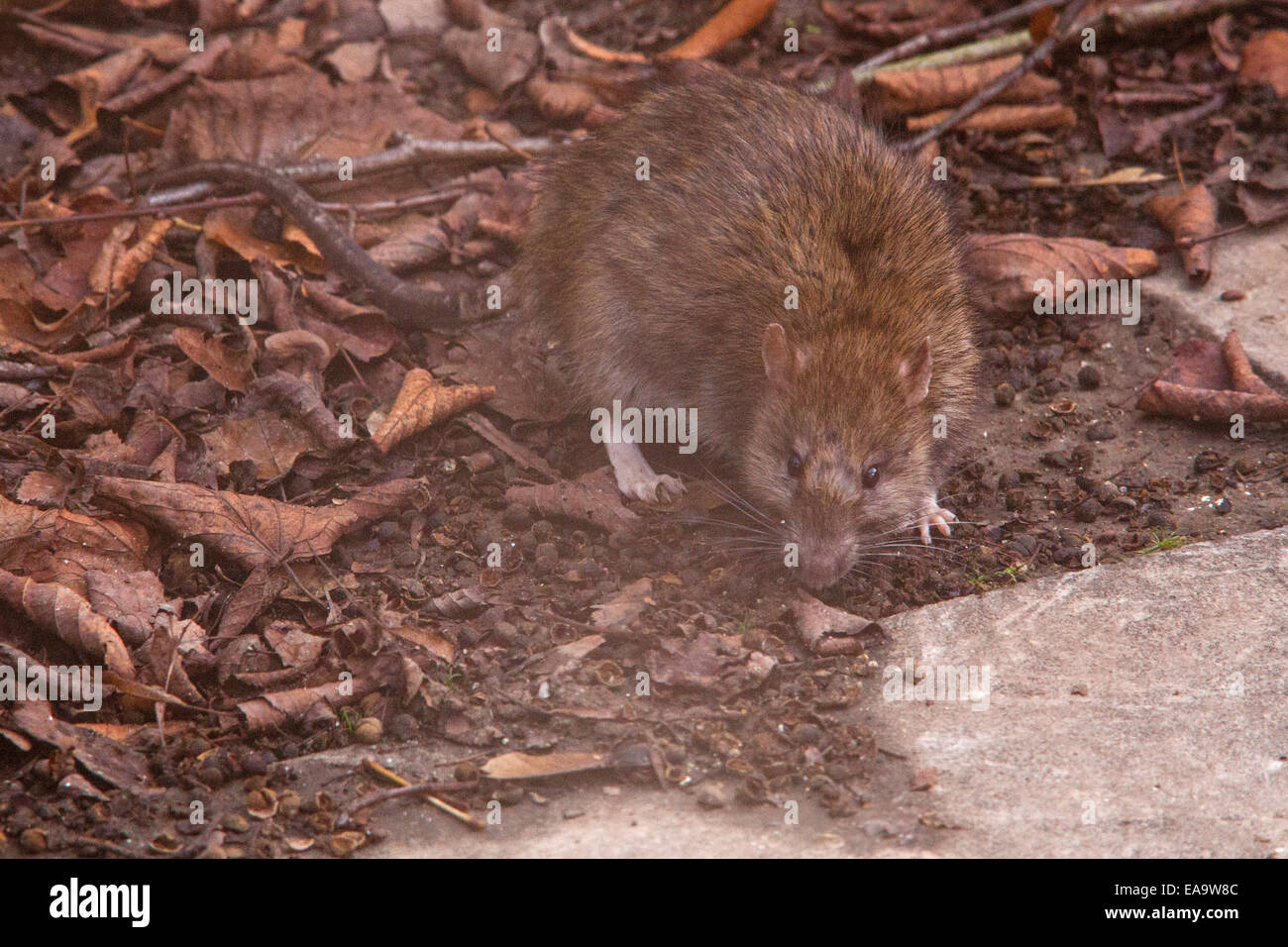 Common brown Rat ( Rattus norvegicus) also known as a Norway rat, Winchester,Hampshire, England, United Kingdom. - Stock Image