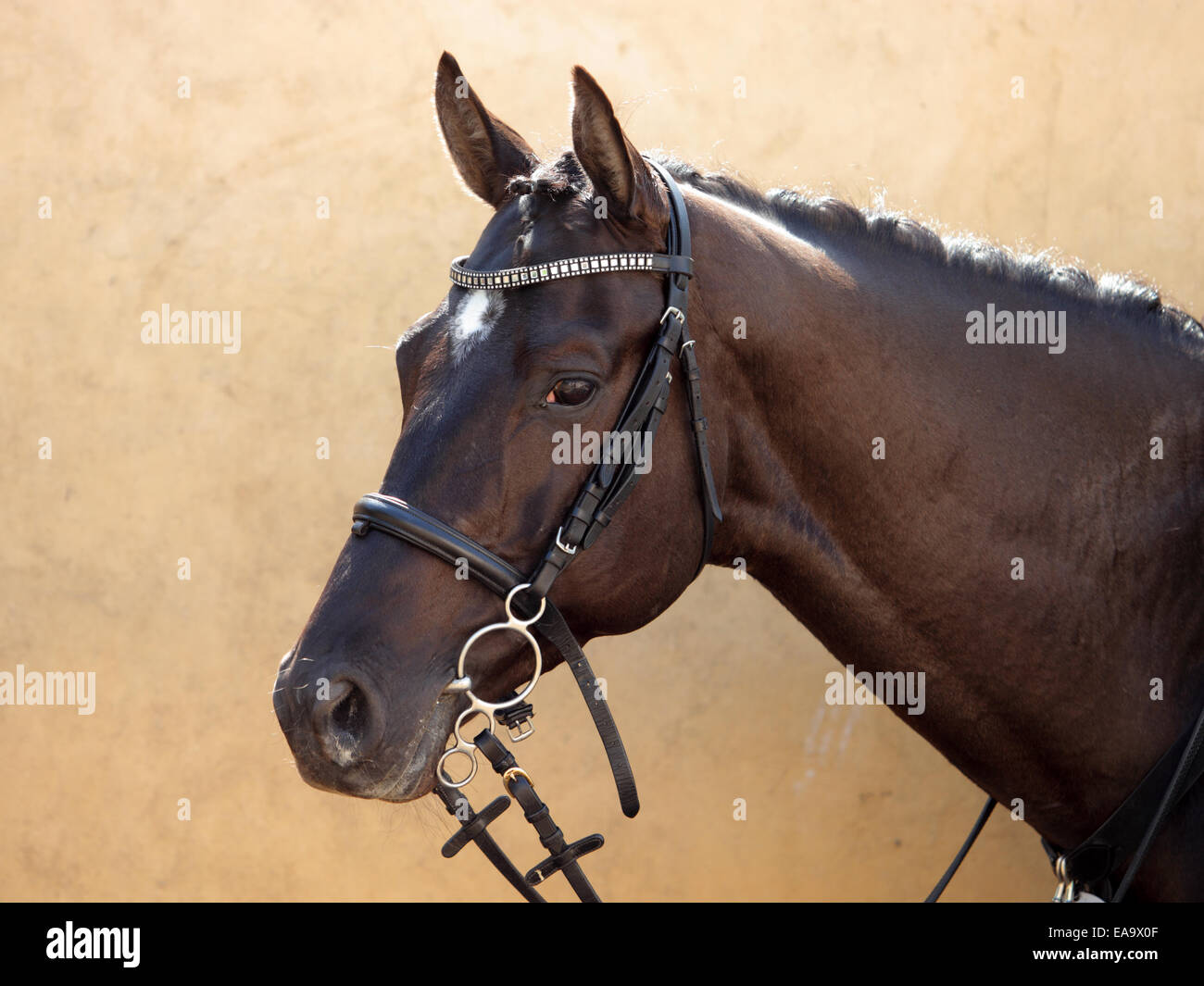 Holstein bay horse in farm - Stock Image