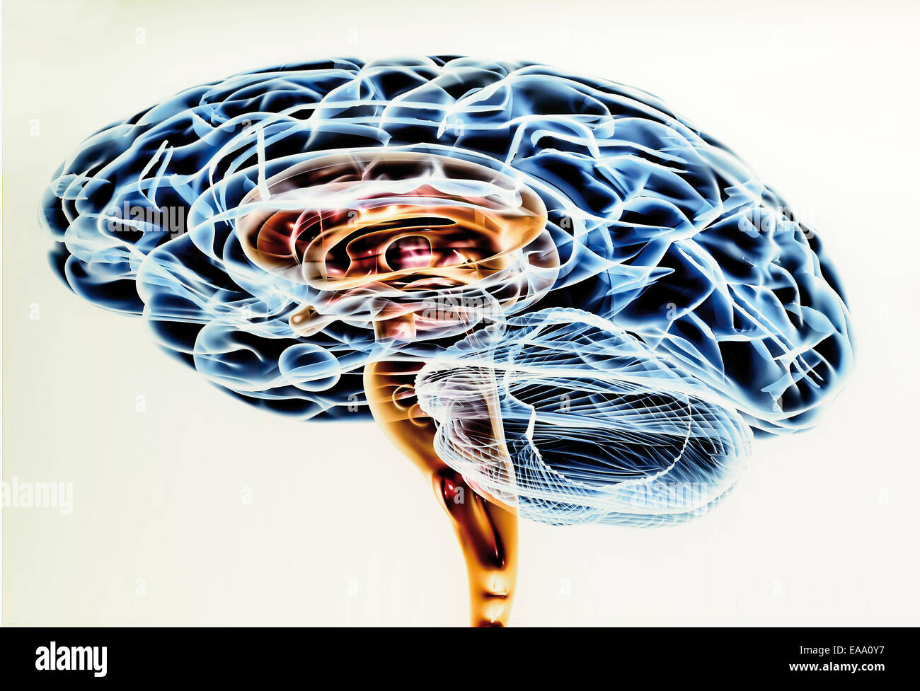 Spain, Burgos: Scientific drawing of the human brain in the Museum of Human Evolution - Stock Image