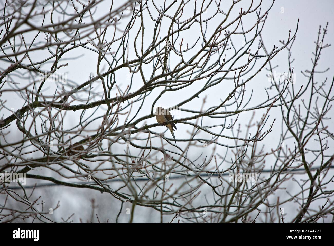 A mourning dove sits on ice covered branches in Michigan during the polar vortex of 2013-2014 - Stock Image