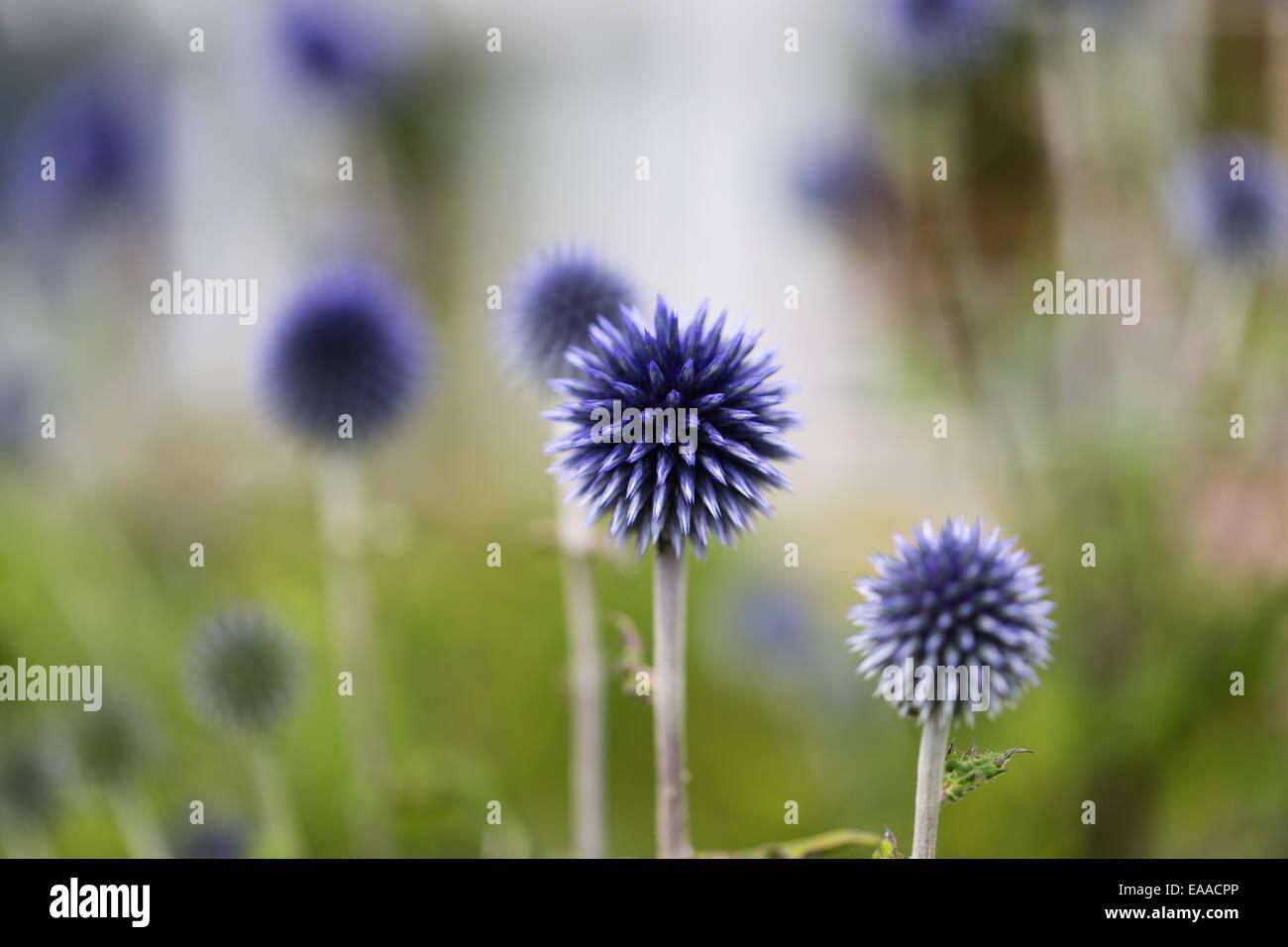 Echinops bannaticus 'Taplow Blue' - Stock Image