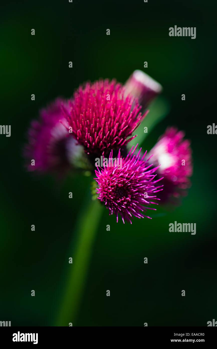 Cirsium rivulare 'atropurpureum', Red Thistle - Stock Image