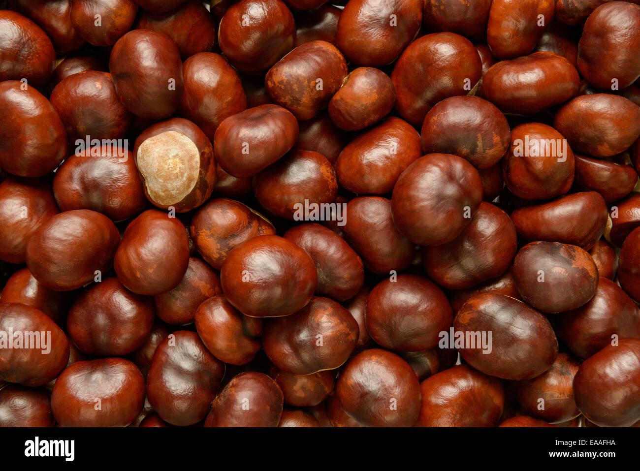 Hundreds of Conkers or Horse chestnut - Stock Image