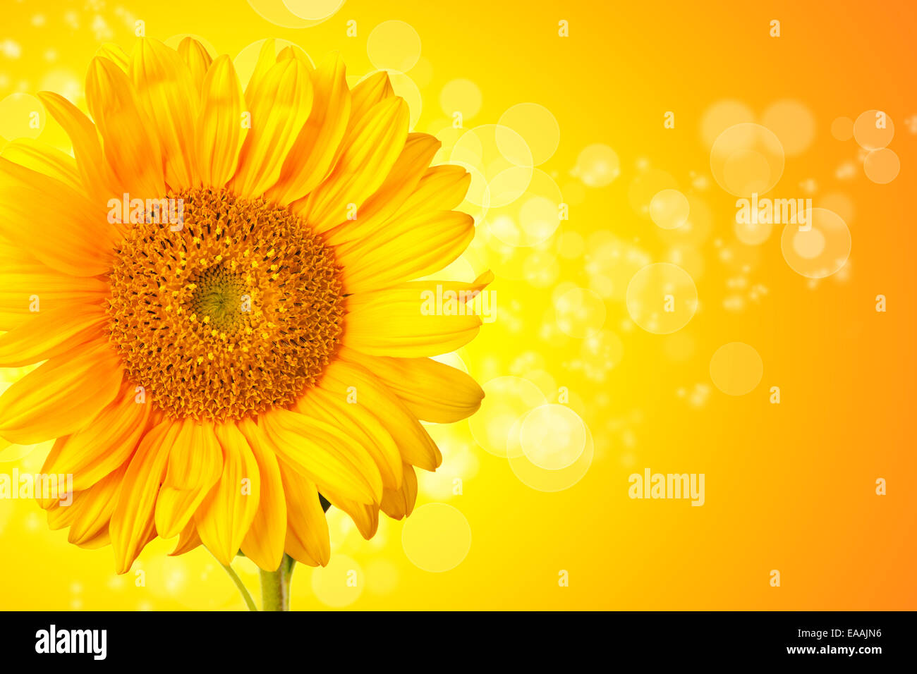 Sunflower blossom detail with abstract shiny background - Stock Image