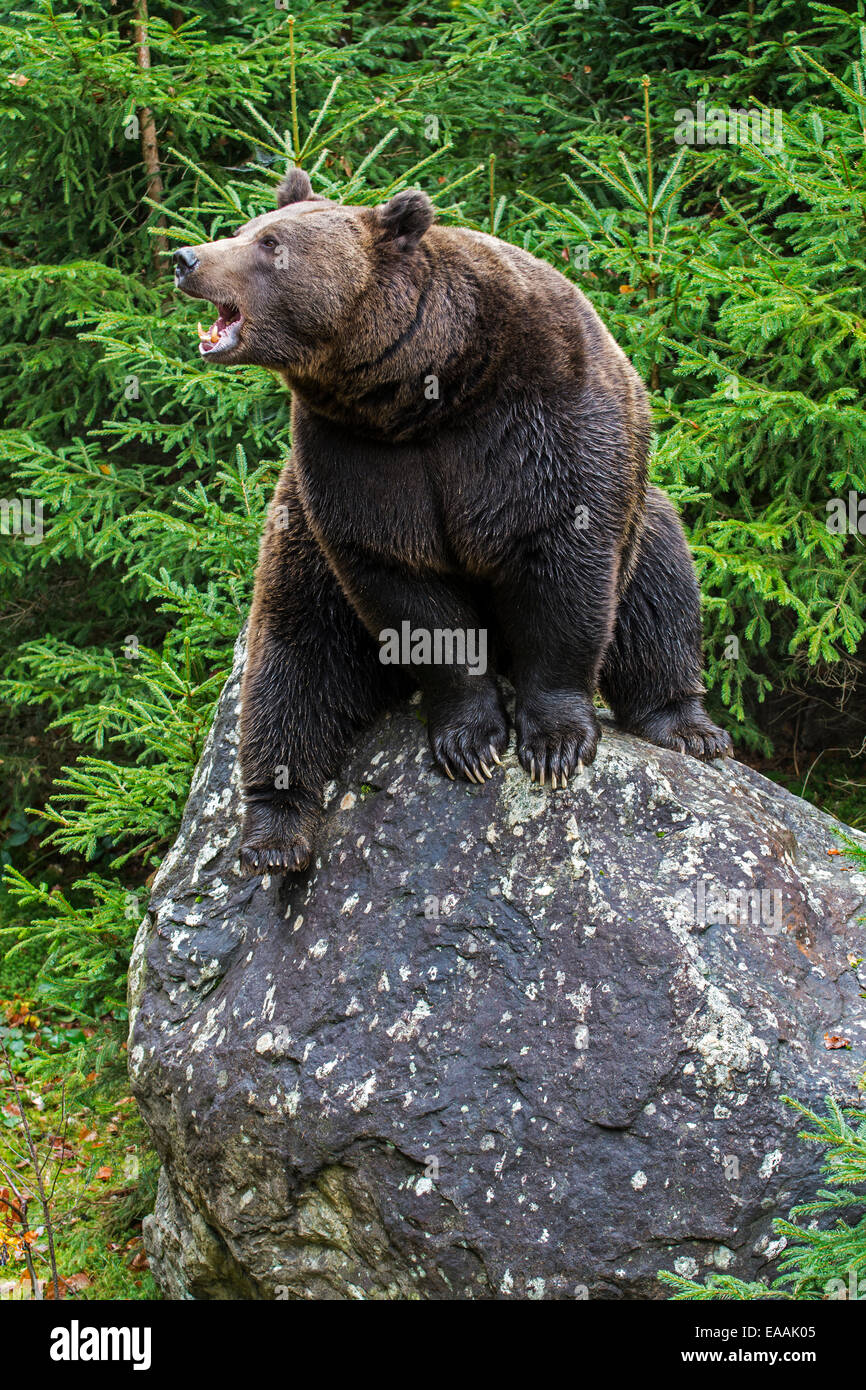 Growling European brown bear (Ursus arctos arctos) sitting on rock in forest with pine trees - Stock Image