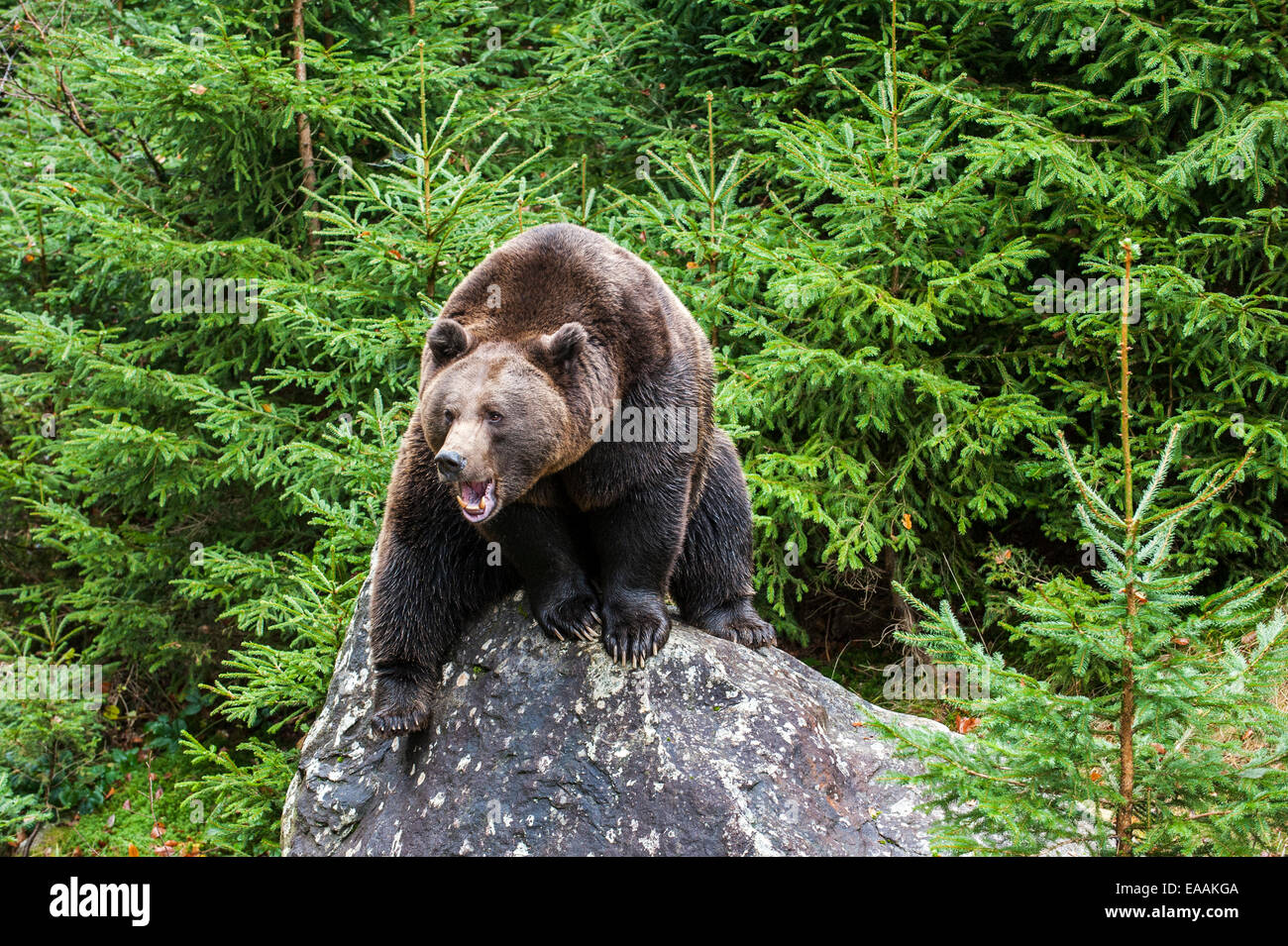 Growling Eurasian brown bear (Ursus arctos arctos) sitting on rock in forest with pine trees - Stock Image