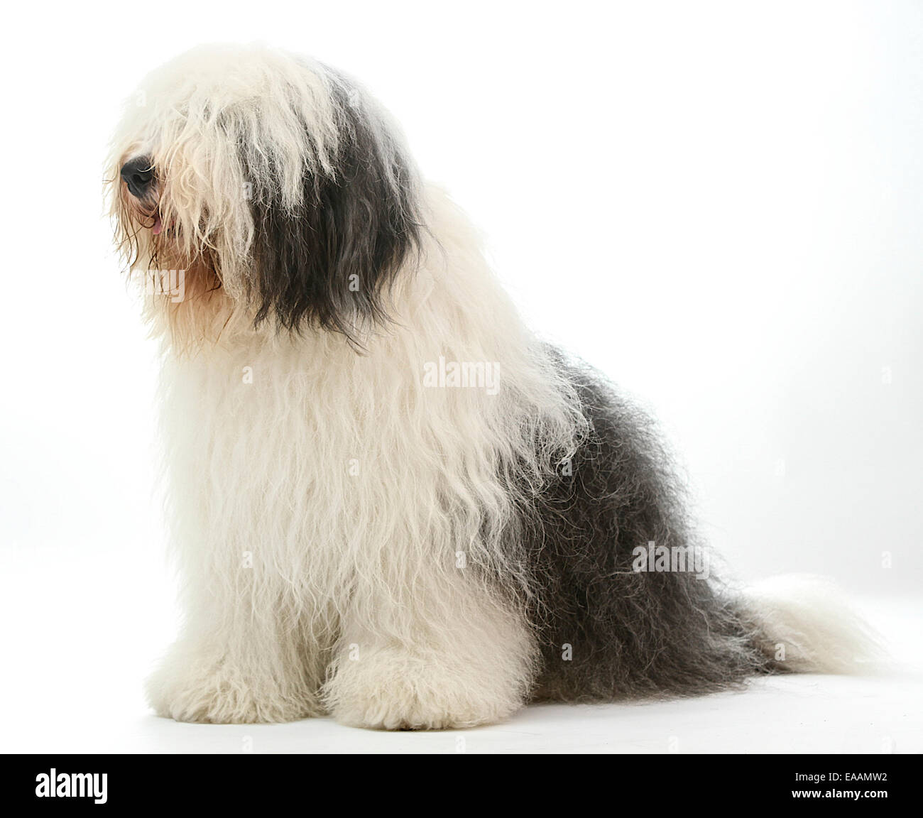 Dulux Dog Stock Photos...