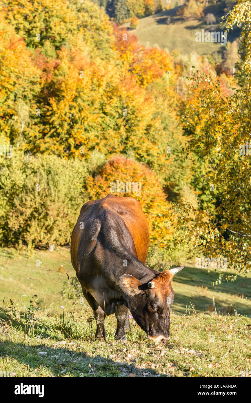 Close up of cow gazing on pasture in mountain region. - Stock Image