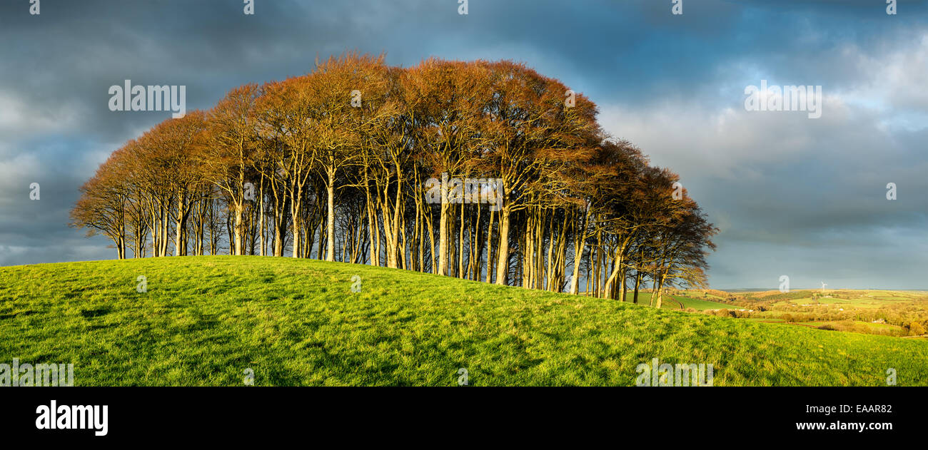 Icon stand of Beech trees under a dramatic stormy sky on top of a hill on the Devon and Cornwall border - Stock Image