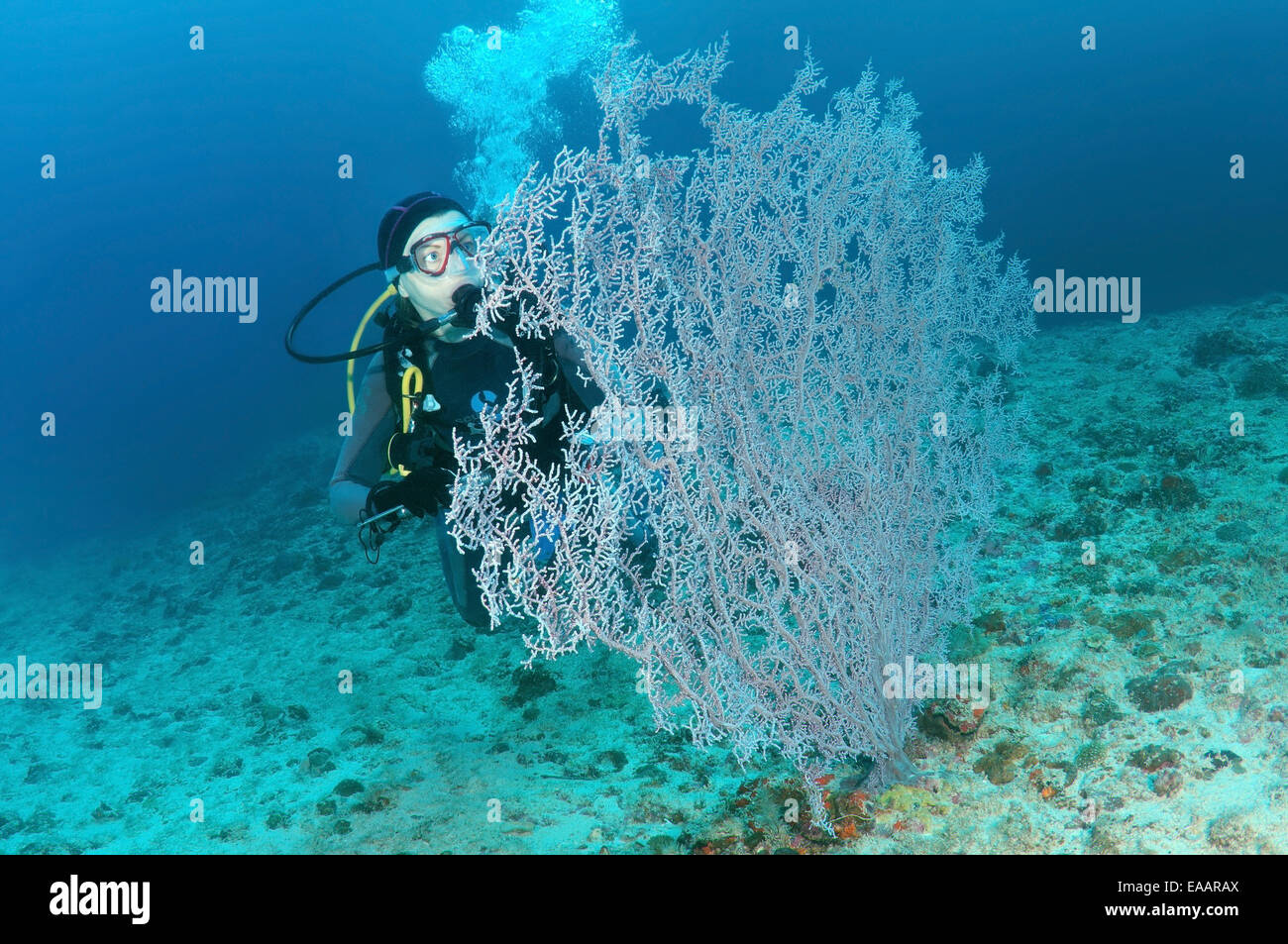 Diver looking at a soft corals Gorgonaria, Bohol Sea, Philippines, Southeast Asia Stock Photo