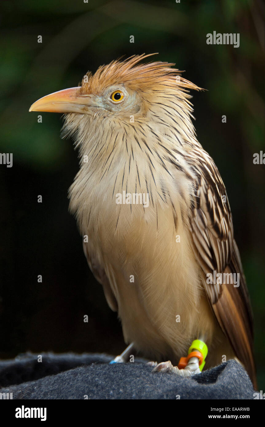 Vertical close up of a Guira cuckoo, Guira guira, in an aviary. - Stock Image