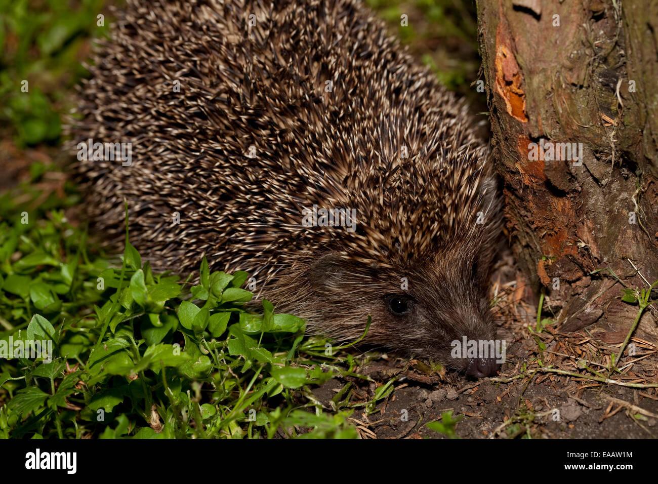 wild adult hedgehog sit in garden - Stock Image