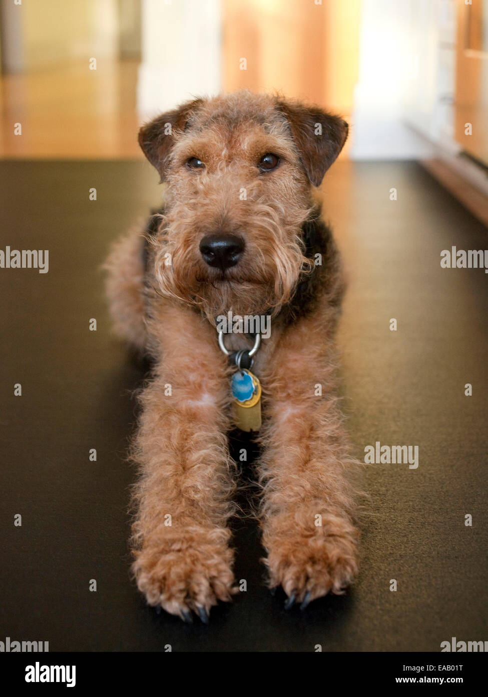 Airedale Terrier reclining on floor - Stock Image