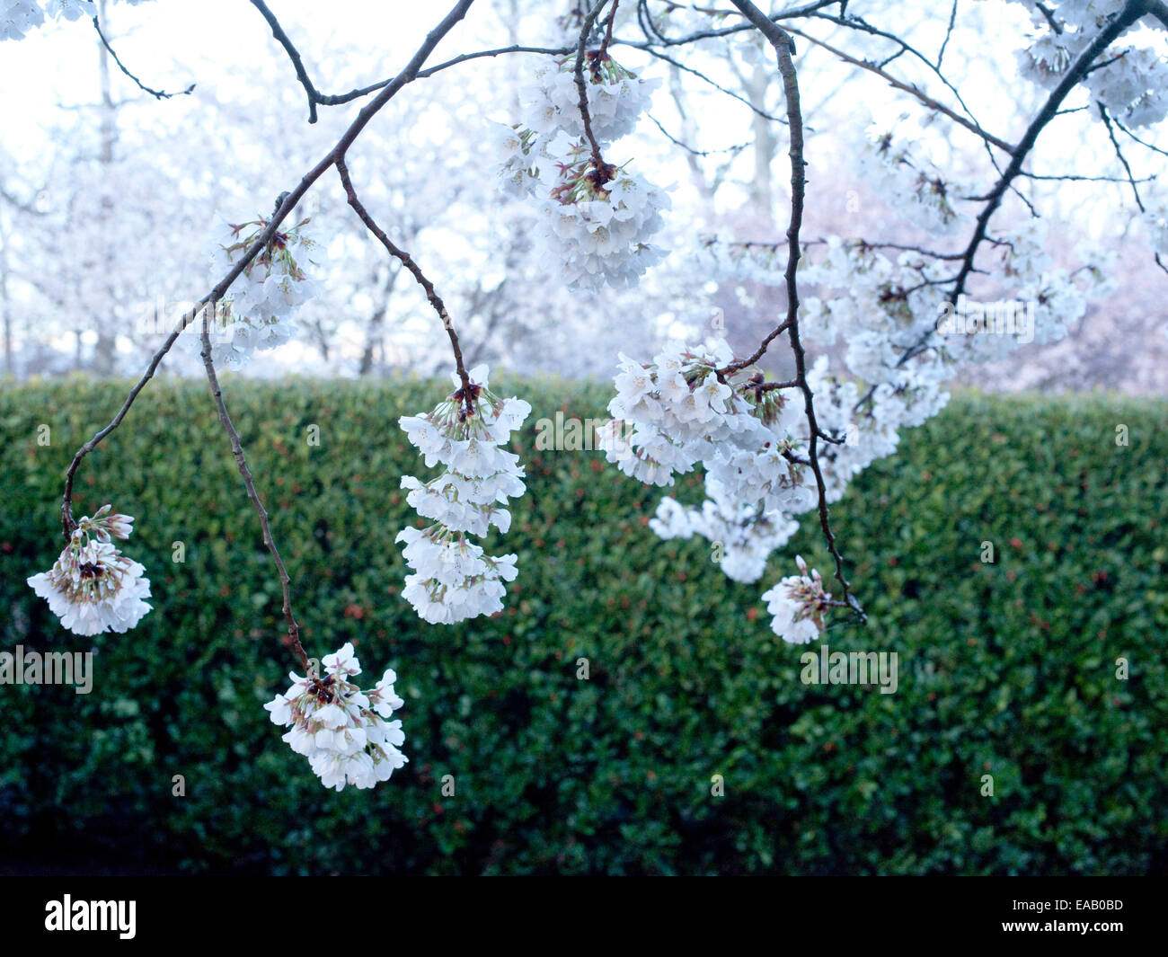 apple blossoms in spring in early morning - Stock Image
