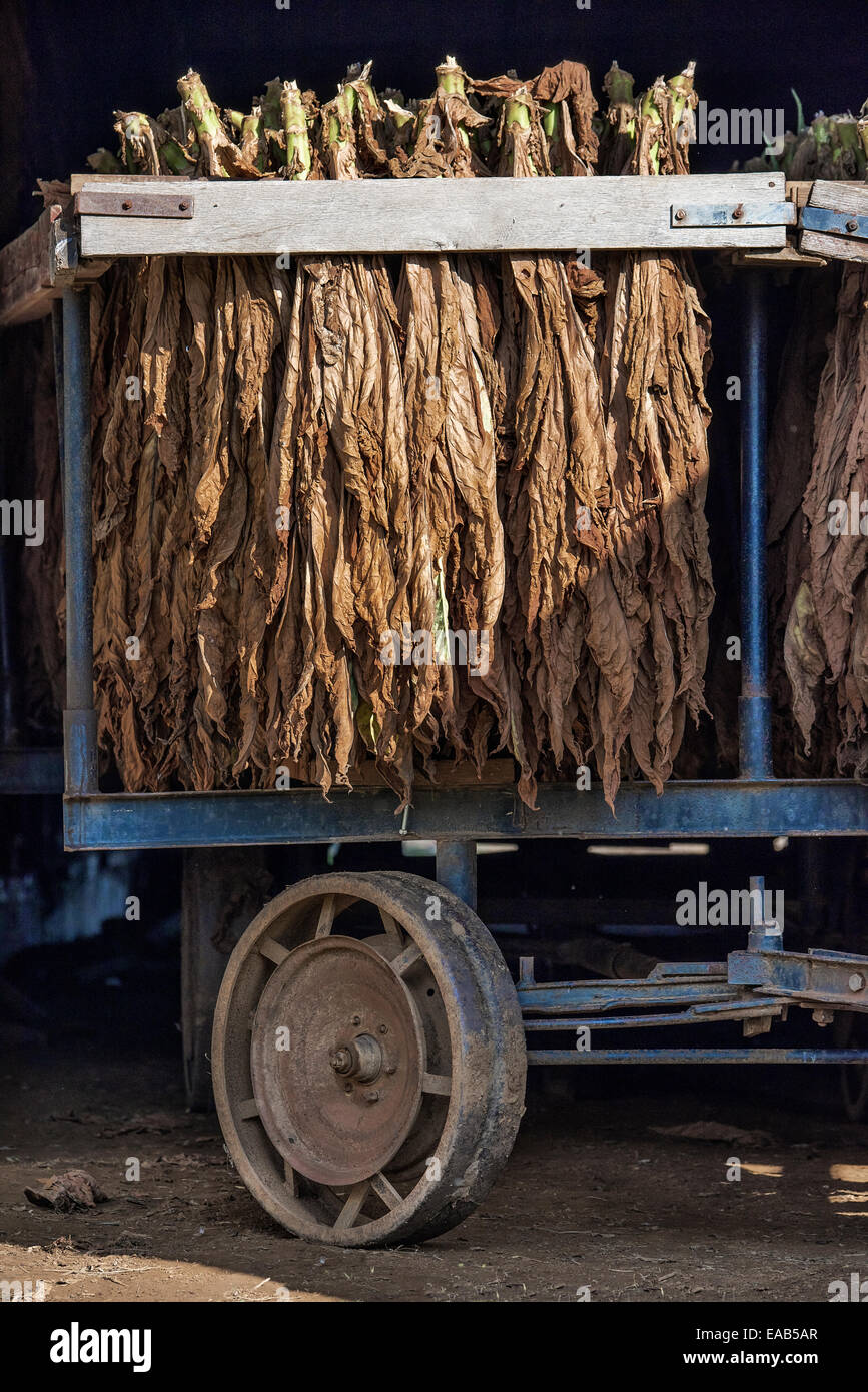 Tobacco leaves drying in an Amish barn,  Lancaster County, Pennsylvania, USA - Stock Image