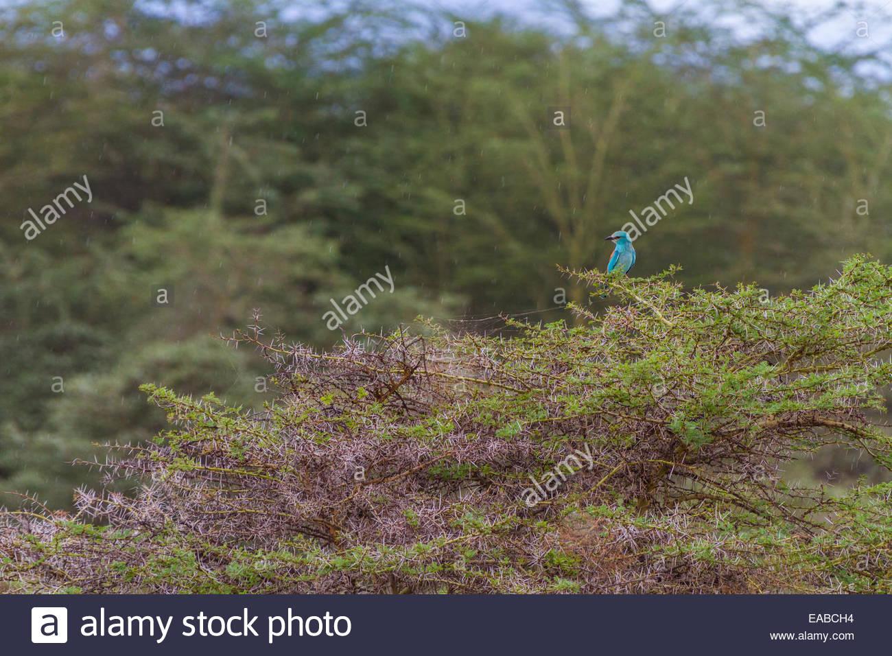 Bird perching on thorny bush - East Africa - Tanzania - Stock Image