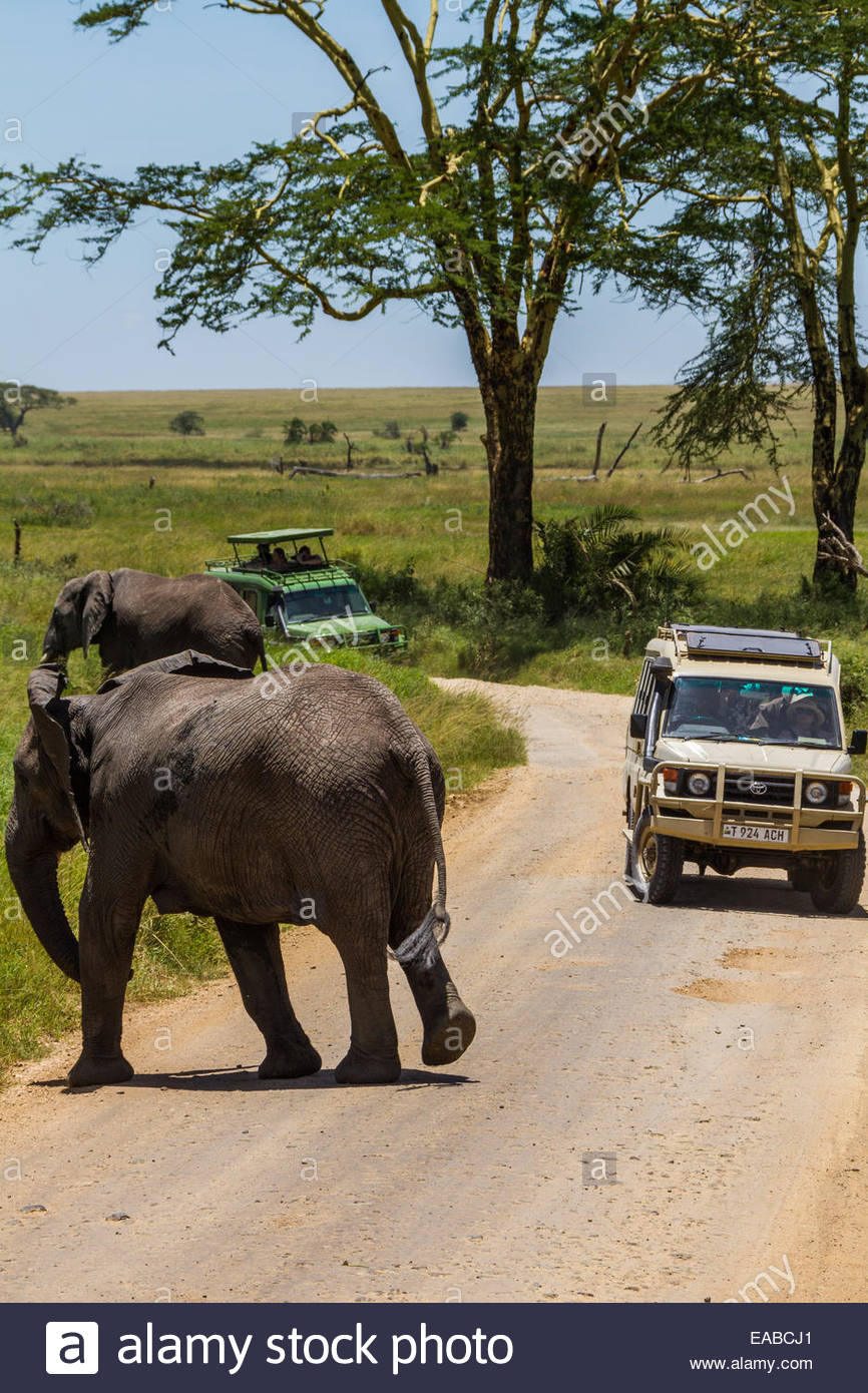 African elephants prepare to cross a dirt road as safari tourists look on from their trucks in Serengeti National - Stock Image