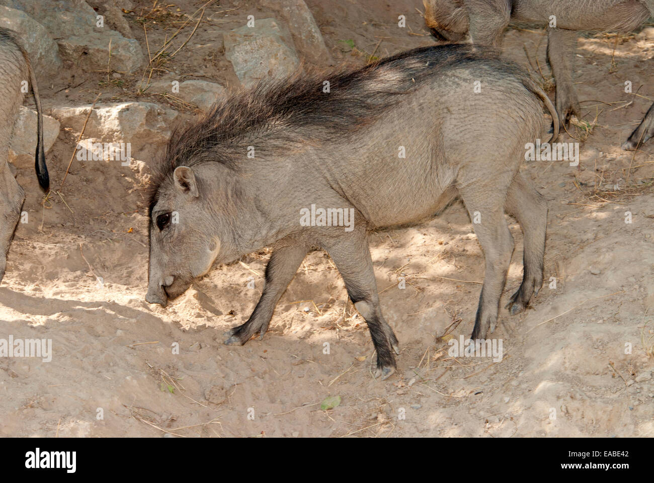 Warthog - Stock Image