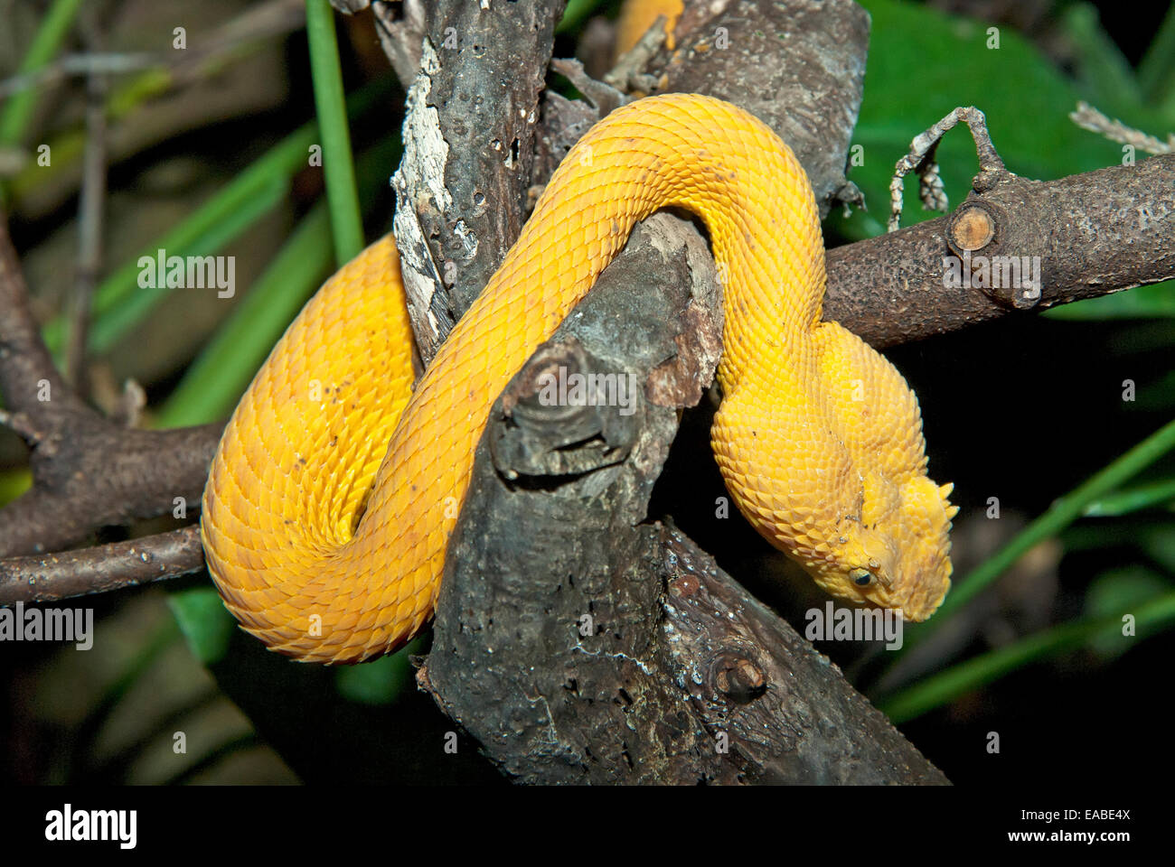 Eyelash Viper Snake Stock Photos Eyelash Viper Snake Stock Images