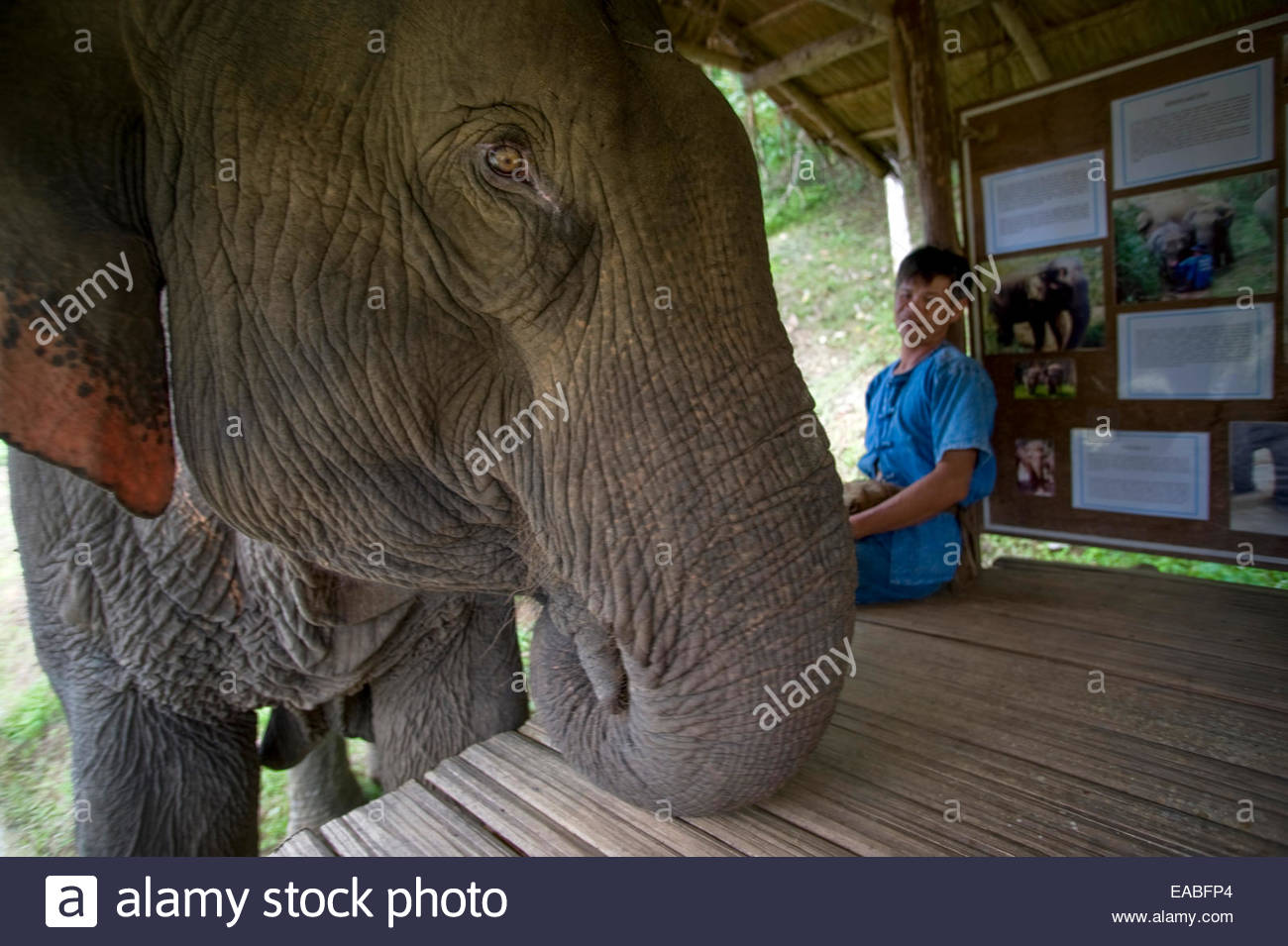 Mahout Som Chai with his elephant Pang Noi (Little Miss) at Boon Lotts Elephant Sanctuary, Thailand. - Stock Image