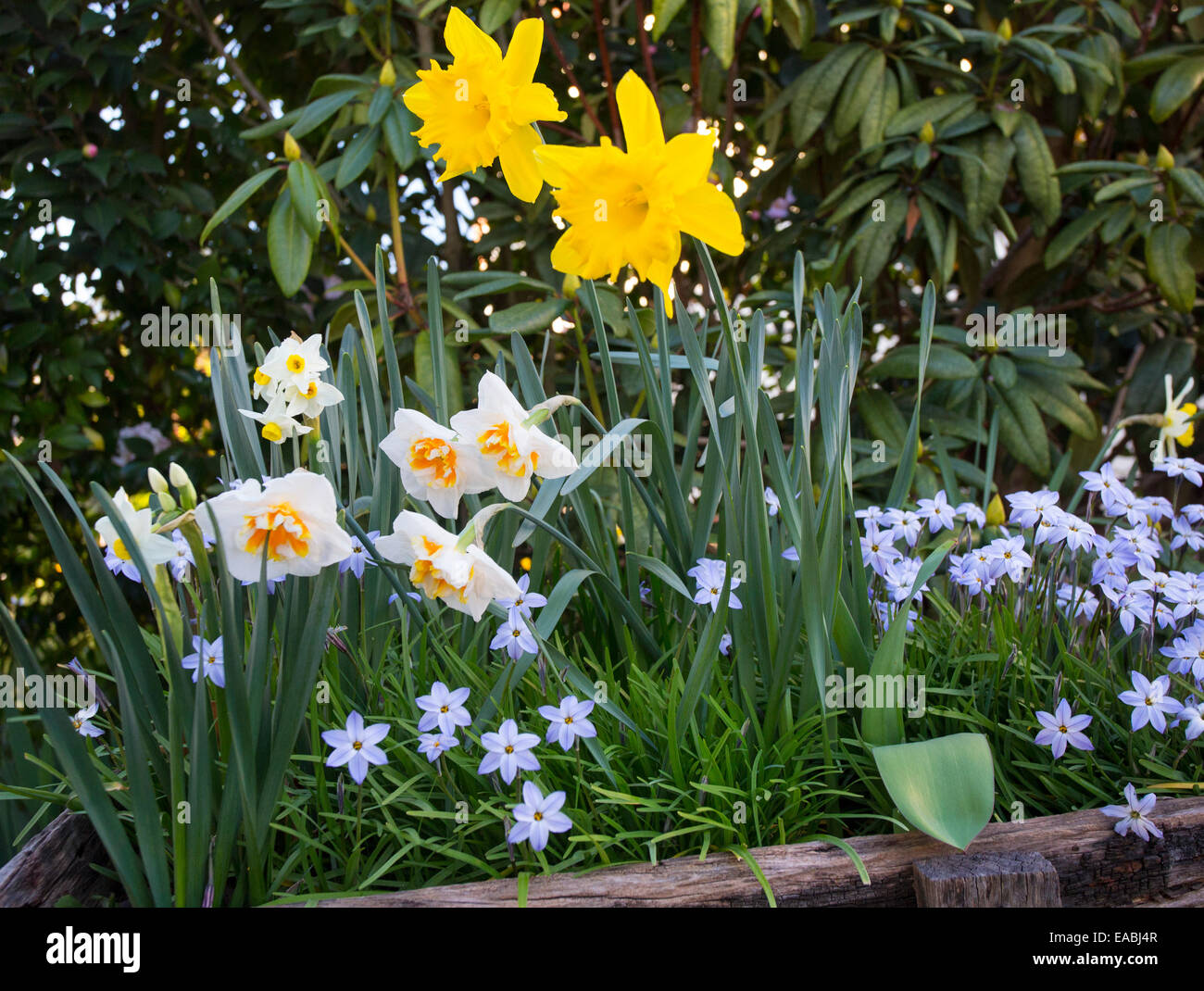 Daffodils And Spring Flowers In A Garden Nsw Australia Stock Photo