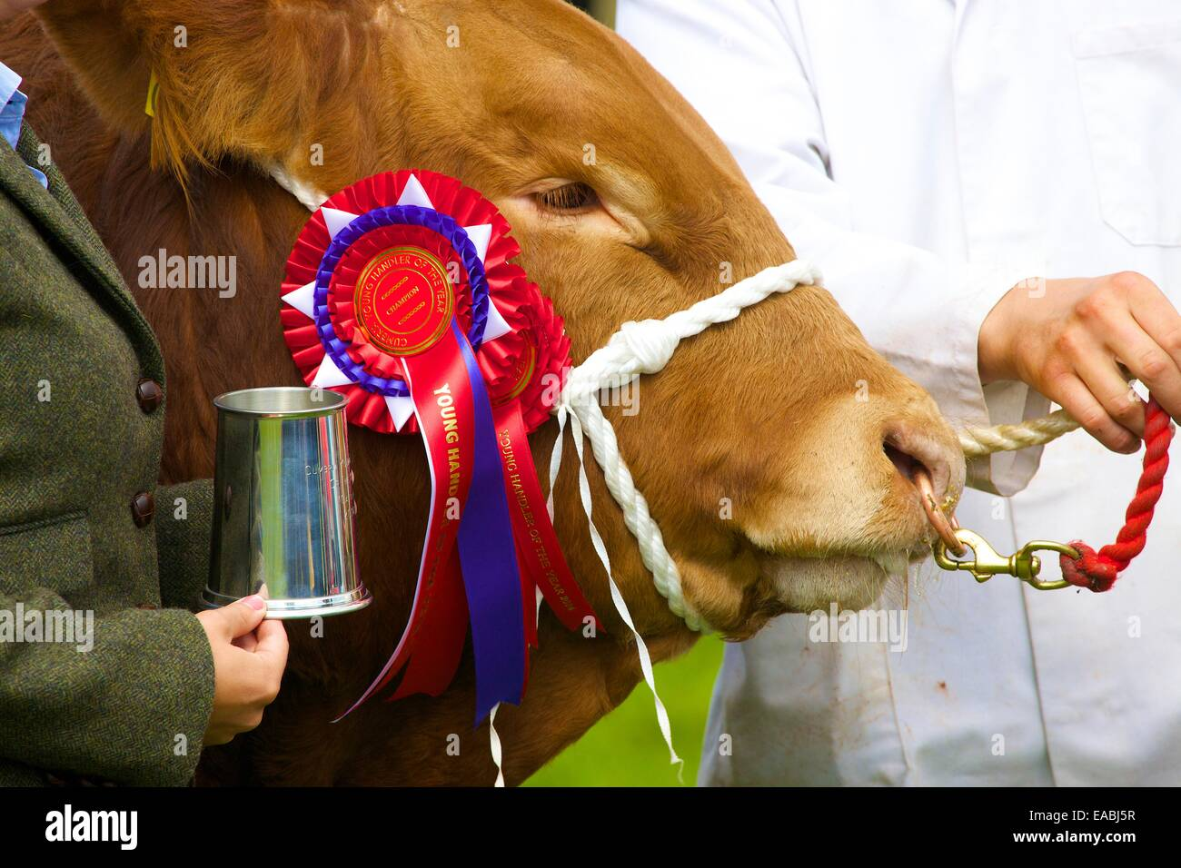 Bull with first prize rosette  at Hesket Newmarket Agricultural Show, Hesket Newmarket, Cumbria, England, United - Stock Image