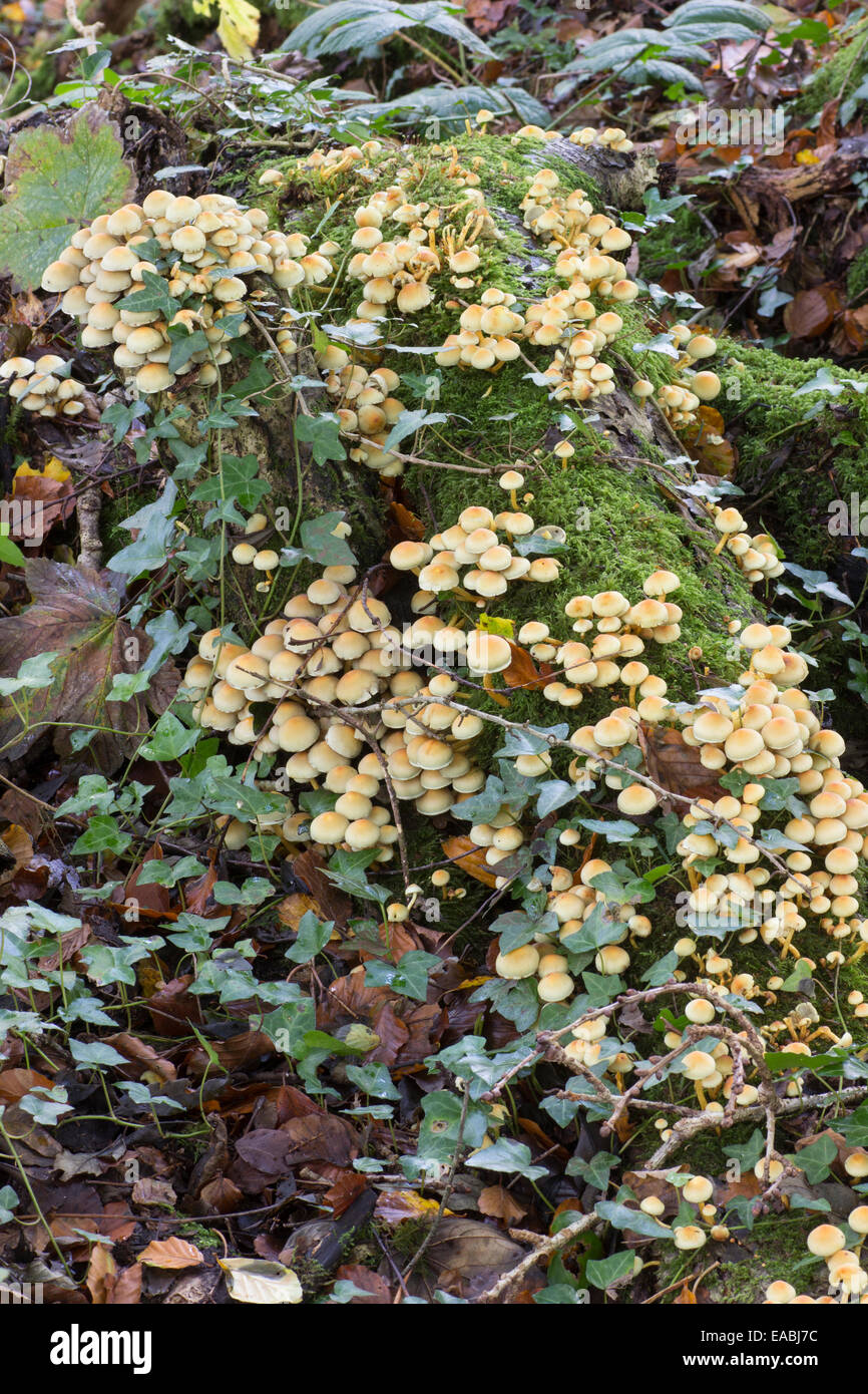 Clusters of the wood rotting Sulphur tuft fungus, Hypholoma fasciculare var. fasciculare - Stock Image