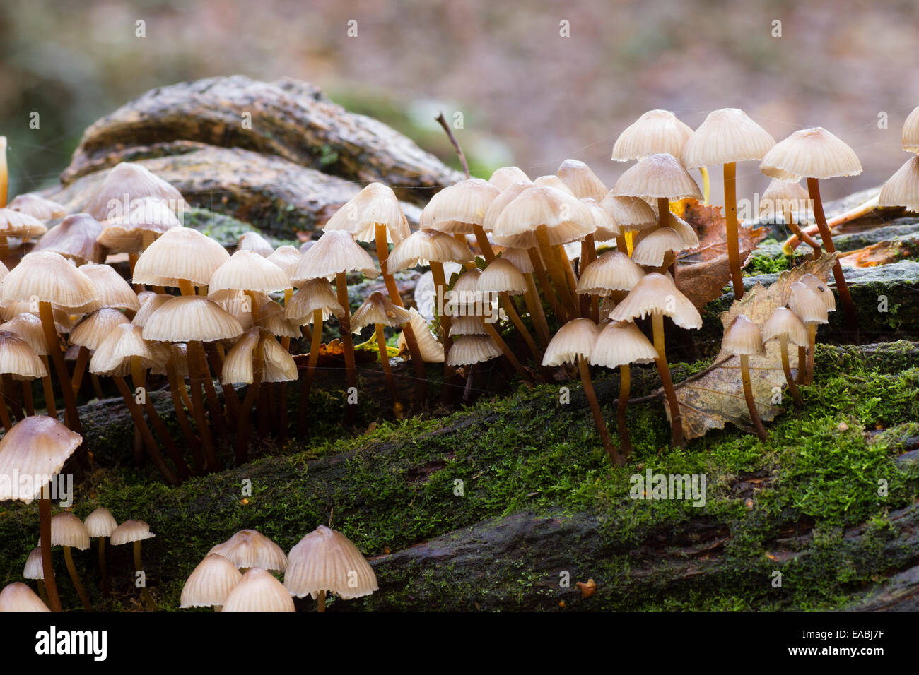 Fruiting mushrooms of the clustered or oak bonnet, Mycena inclinata, growing on a fallen oak branch - Stock Image