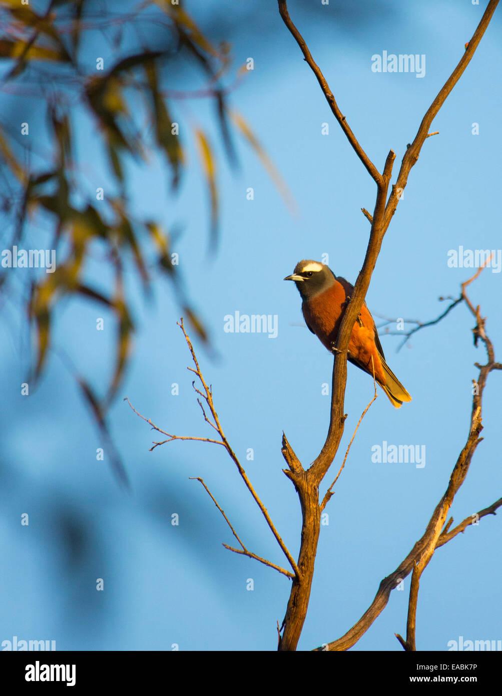 White-browed Woodswallow, (Artamus superciliosus), NSW, Australia - Stock Image