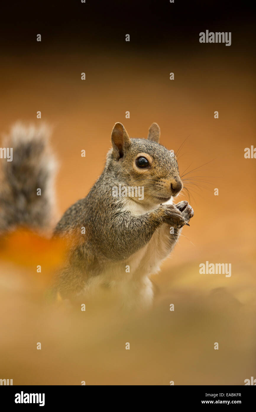 Eastern Grey Squirrel, Sciurus carolinensis, amongst fallen leaves, Suffolk, England, October. - Stock Image