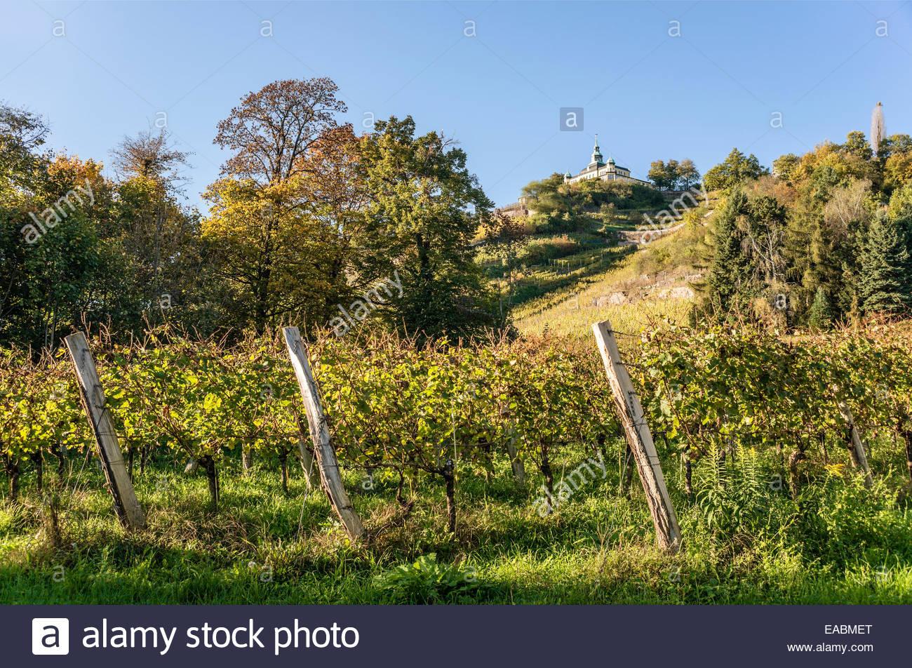 Radebeul Vineyards in Autumn, Elbe Valley, Saxony, Germany | Weinberge von Radebeul im Herbst, Sachsen, Deutschland - Stock Image