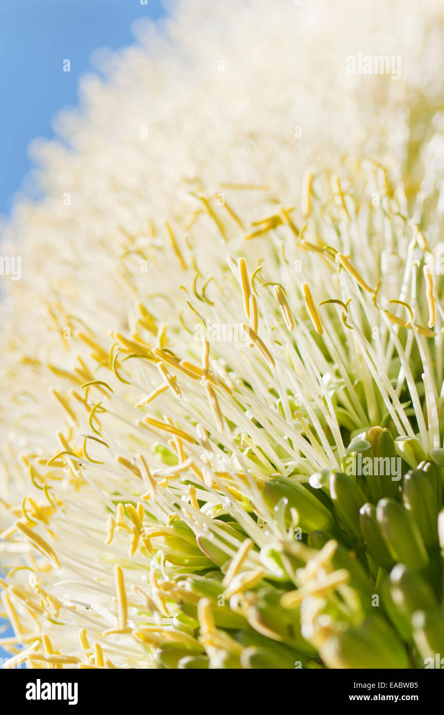 Agave, Agave attenuata, Yellow subject. - Stock Image