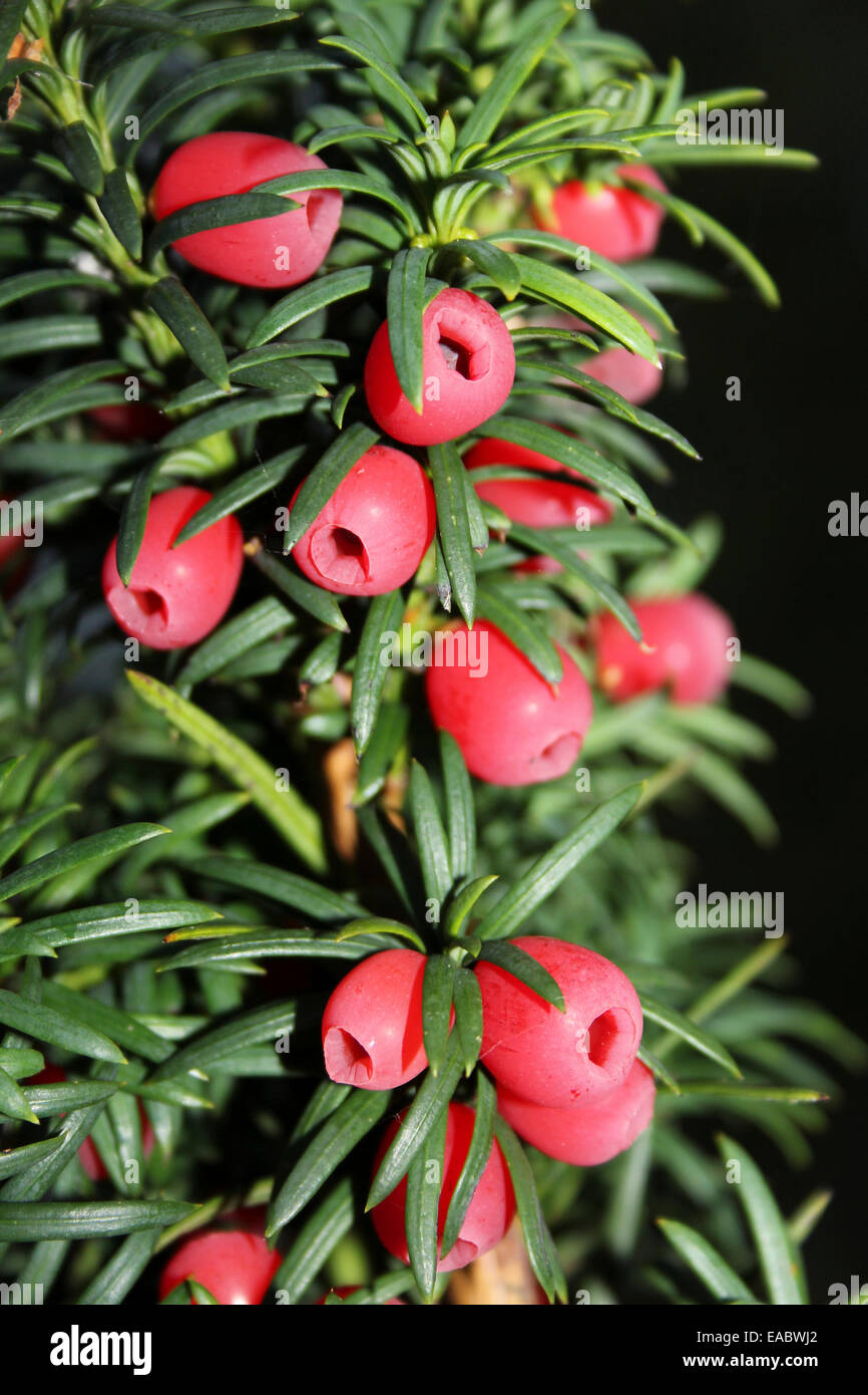 Yew Tree With 'Berries' - actually a bright red aril surrounding the seed - Stock Image