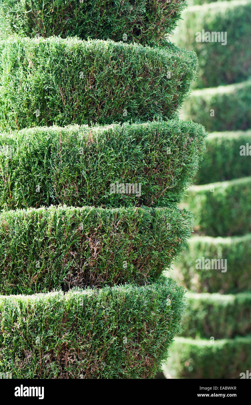 Cypress, Chamaecyparis, Green subject. - Stock Image
