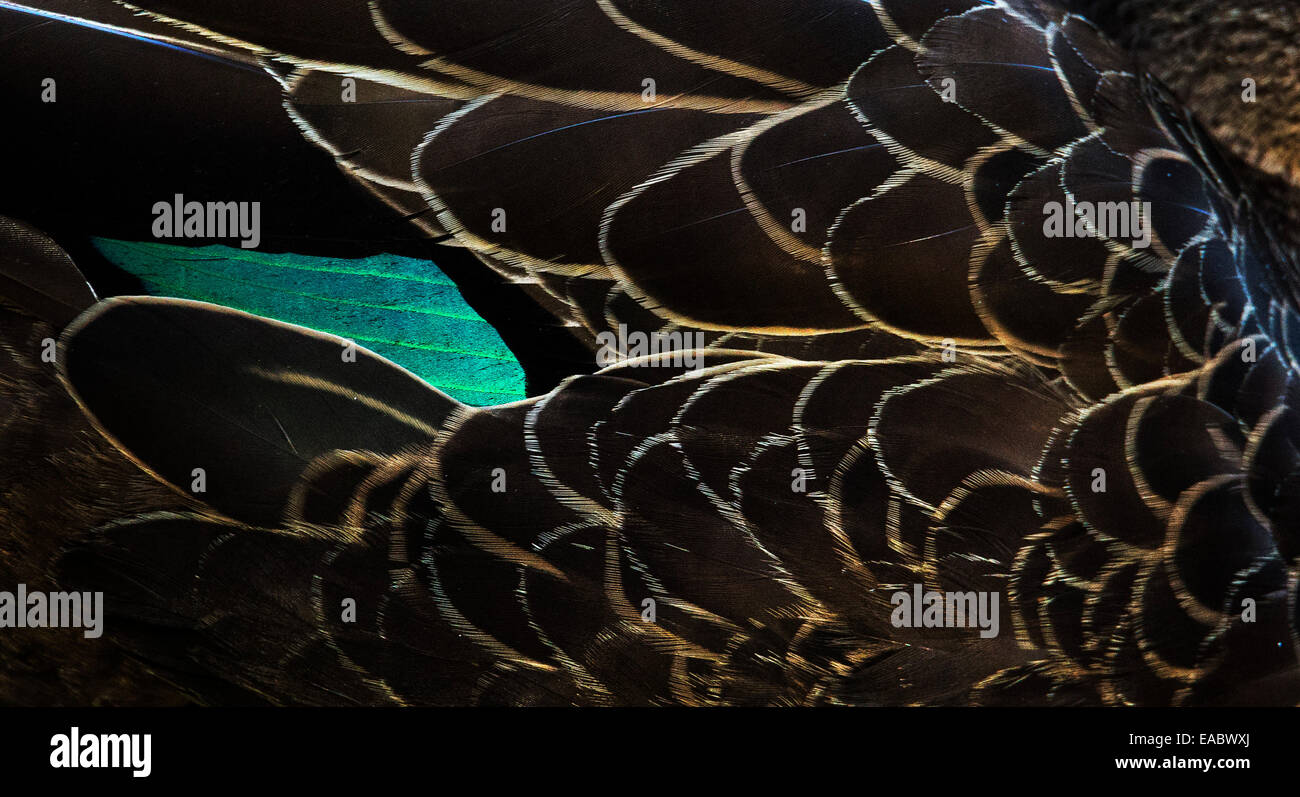 Iridescent feathers on a Pacific Black Duck, Anas superciliosa, Royal National Park, NSW, Australia - Stock Image