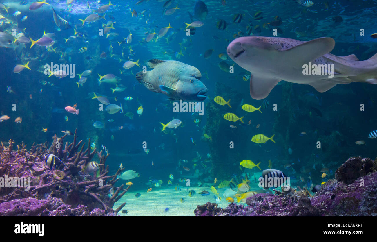 Great Barrier Reef aquarium in the Sydney Sea Life Aquarium, Darling Harbour, Sydney, Australia - Stock Image