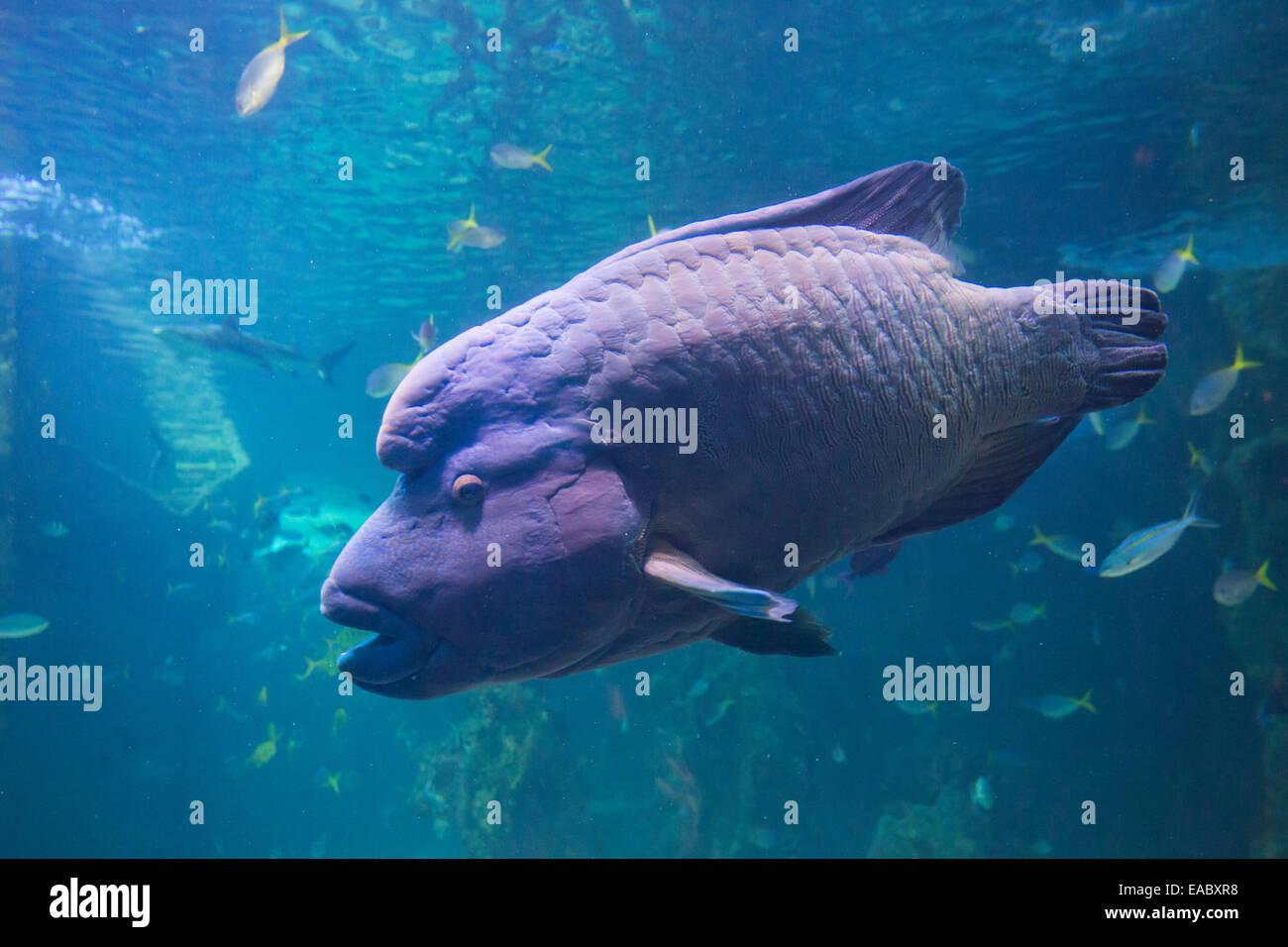 Great Barrier Reef aquarium in the Sydney Sea Life Aquarium, Darling Harbour, Sydney, Australia - Stock Image
