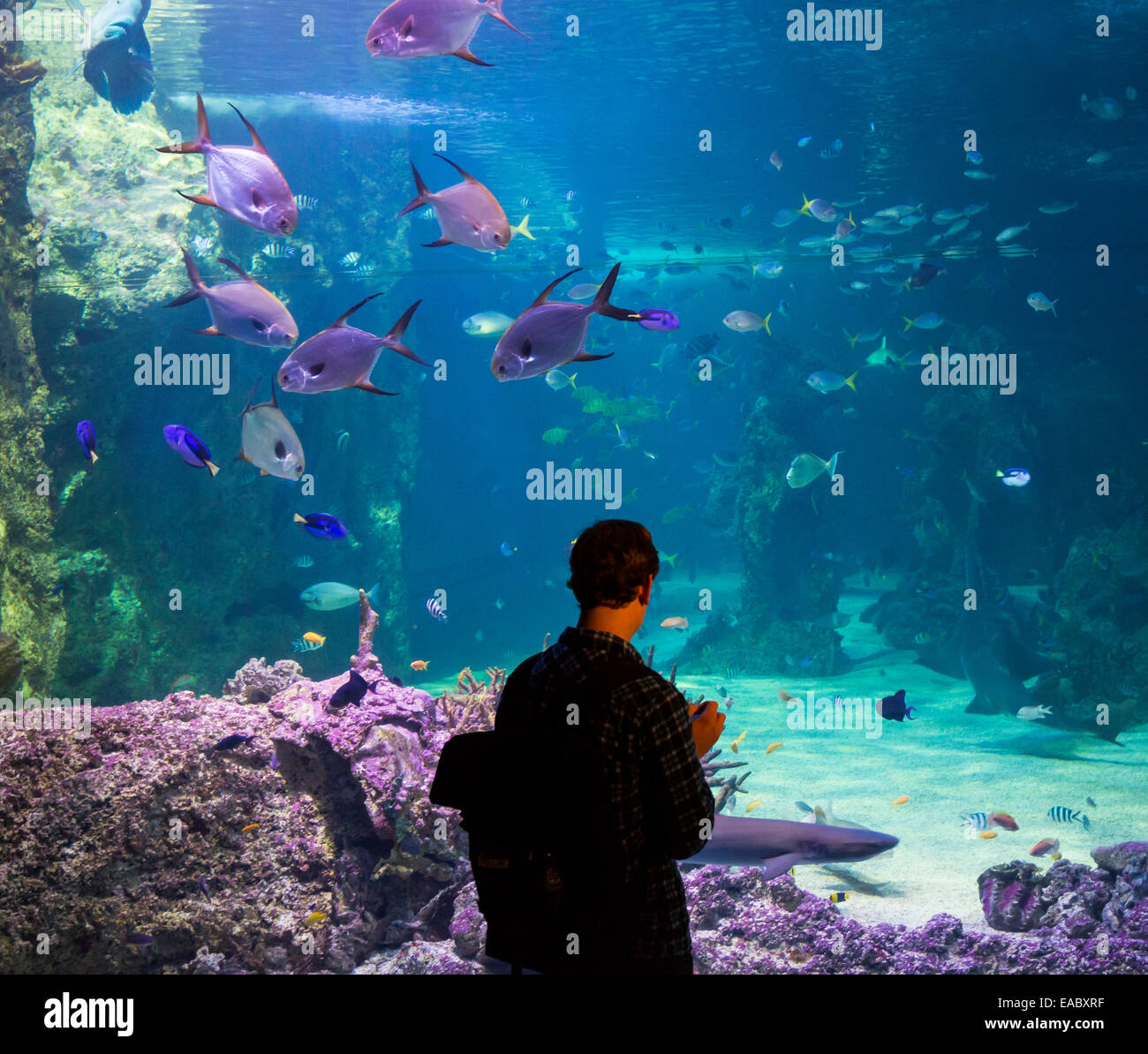 Silhouette of a person looking at the Great Barrier Reef aquarium in the Sydney Sea Life Aquarium, Darling Harbour, - Stock Image
