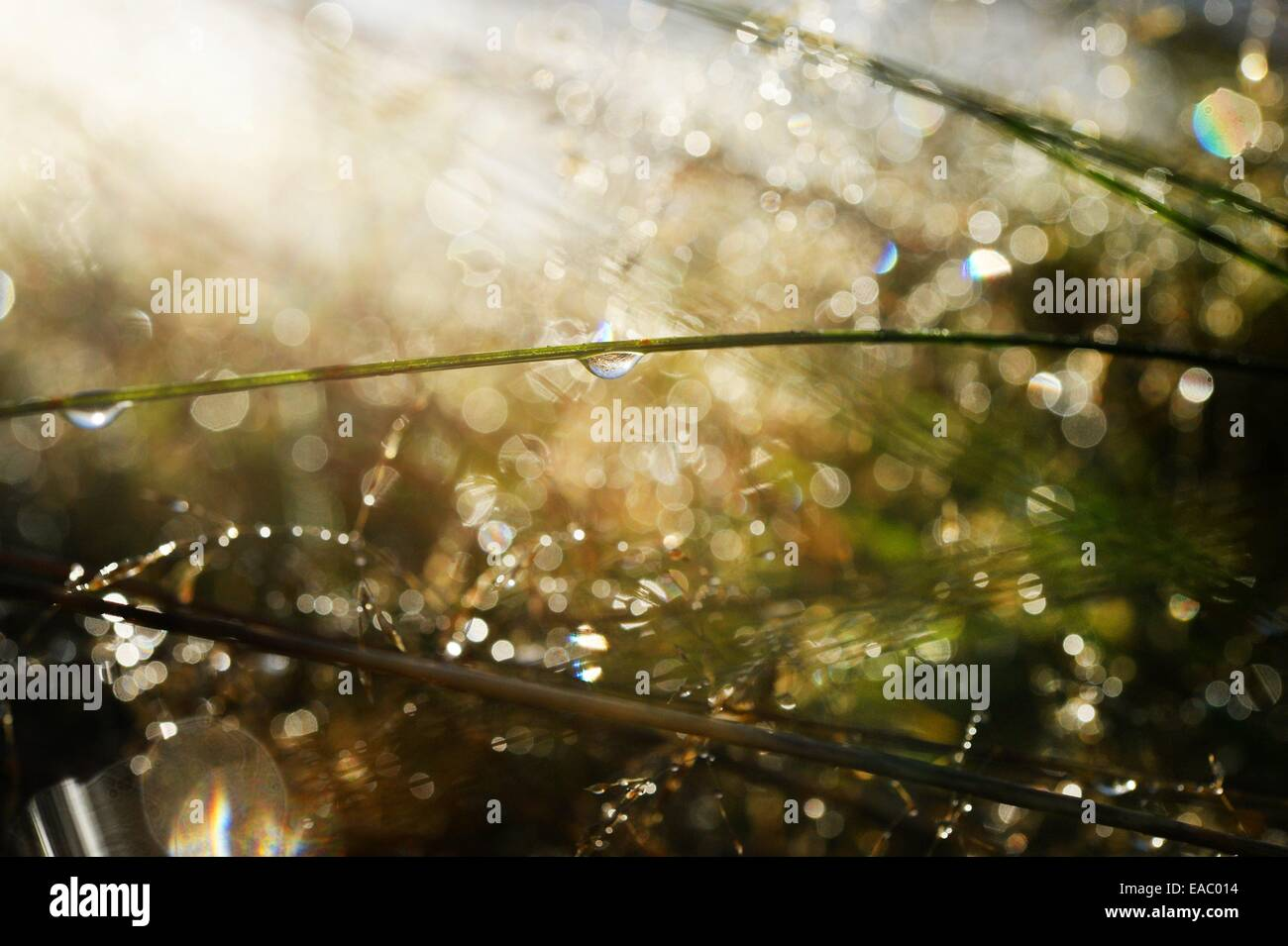 Gras with waterdrops, Germany, 11. November 2014. Photo: Frank May - Stock Image