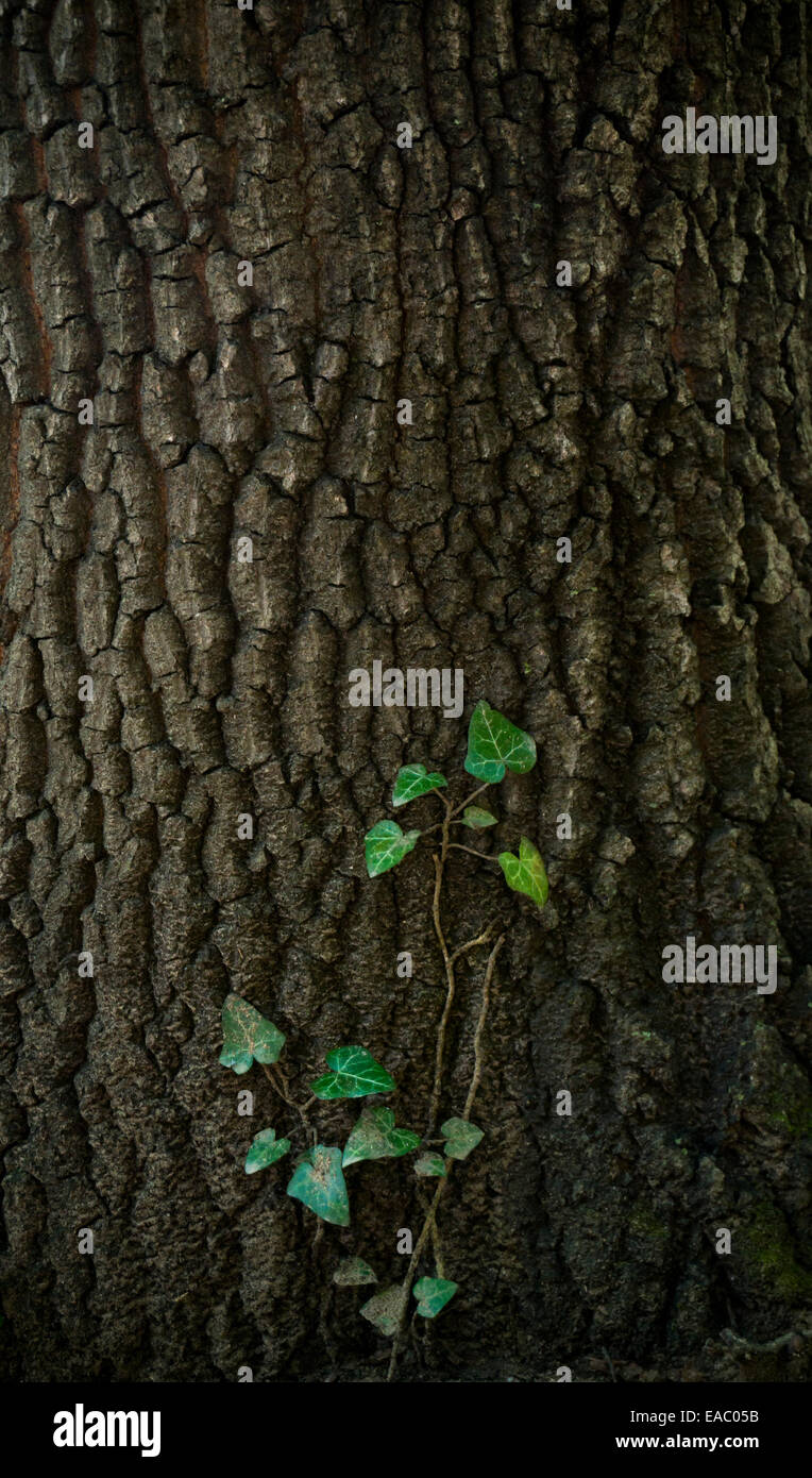 Ivy vine climbing over the bark of a tree. - Stock Image