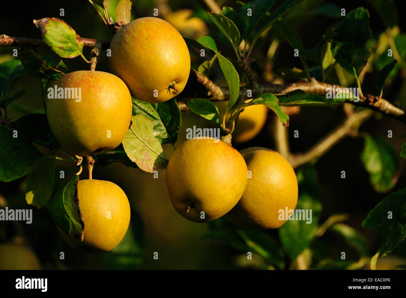 CIDER APPLES GROWING ON AN APPLE TREE - Stock Image