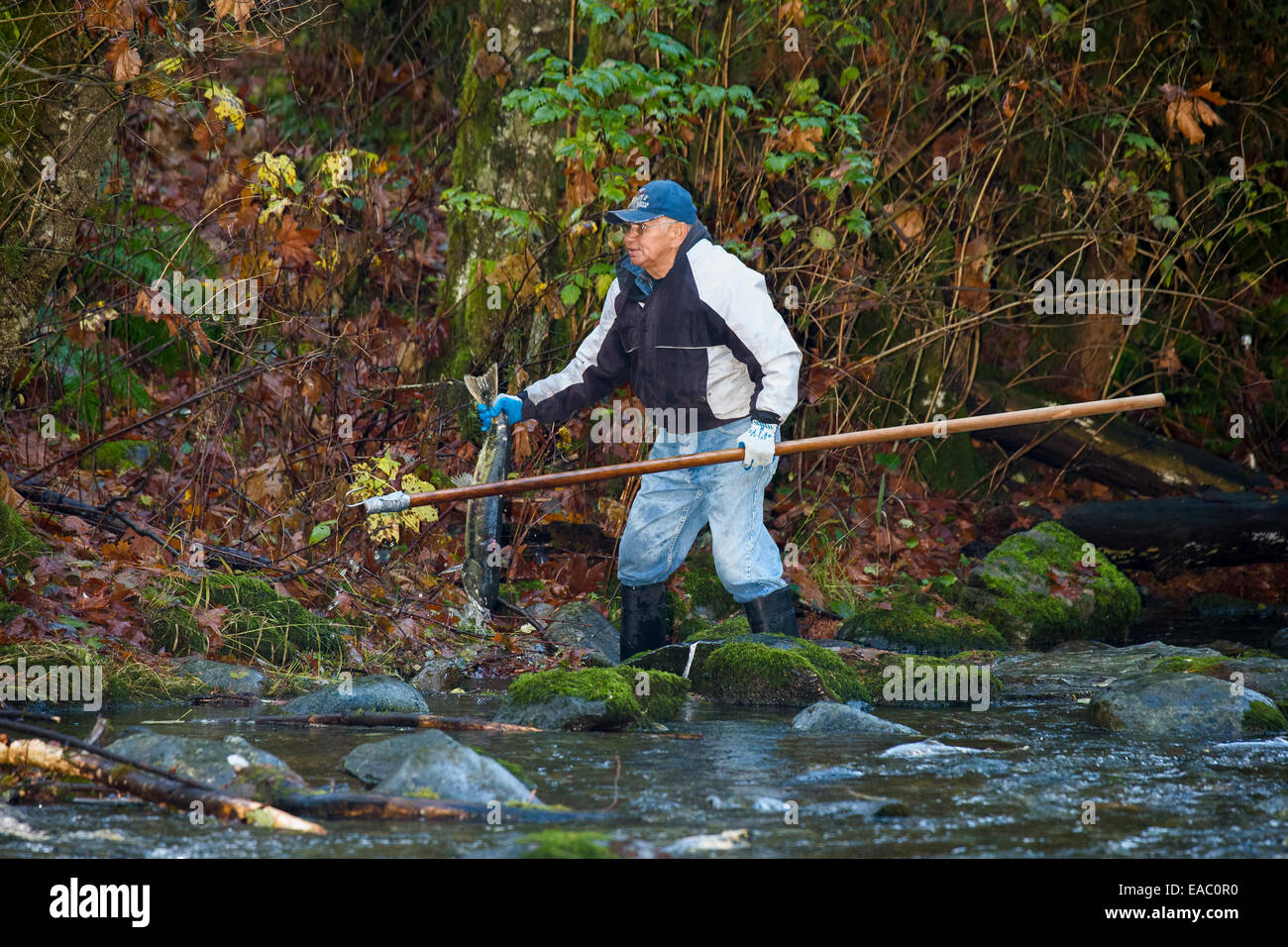 First Nations man waiting to spear Chum salmon in Goldstream Rive during autumn runr-Goldstream Provincial Park, - Stock Image